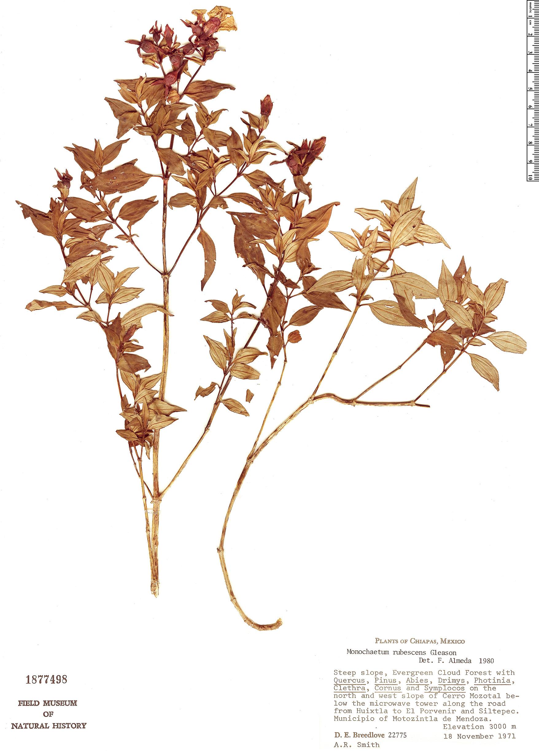 Specimen: Monochaetum rubescens