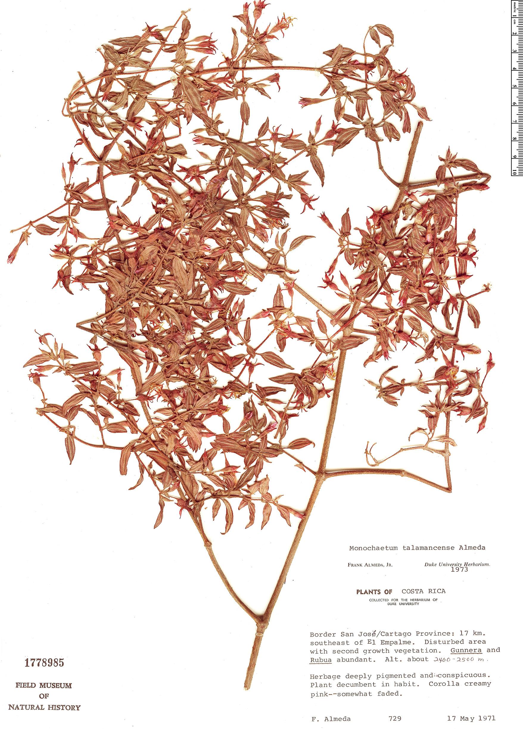 Specimen: Monochaetum talamancense