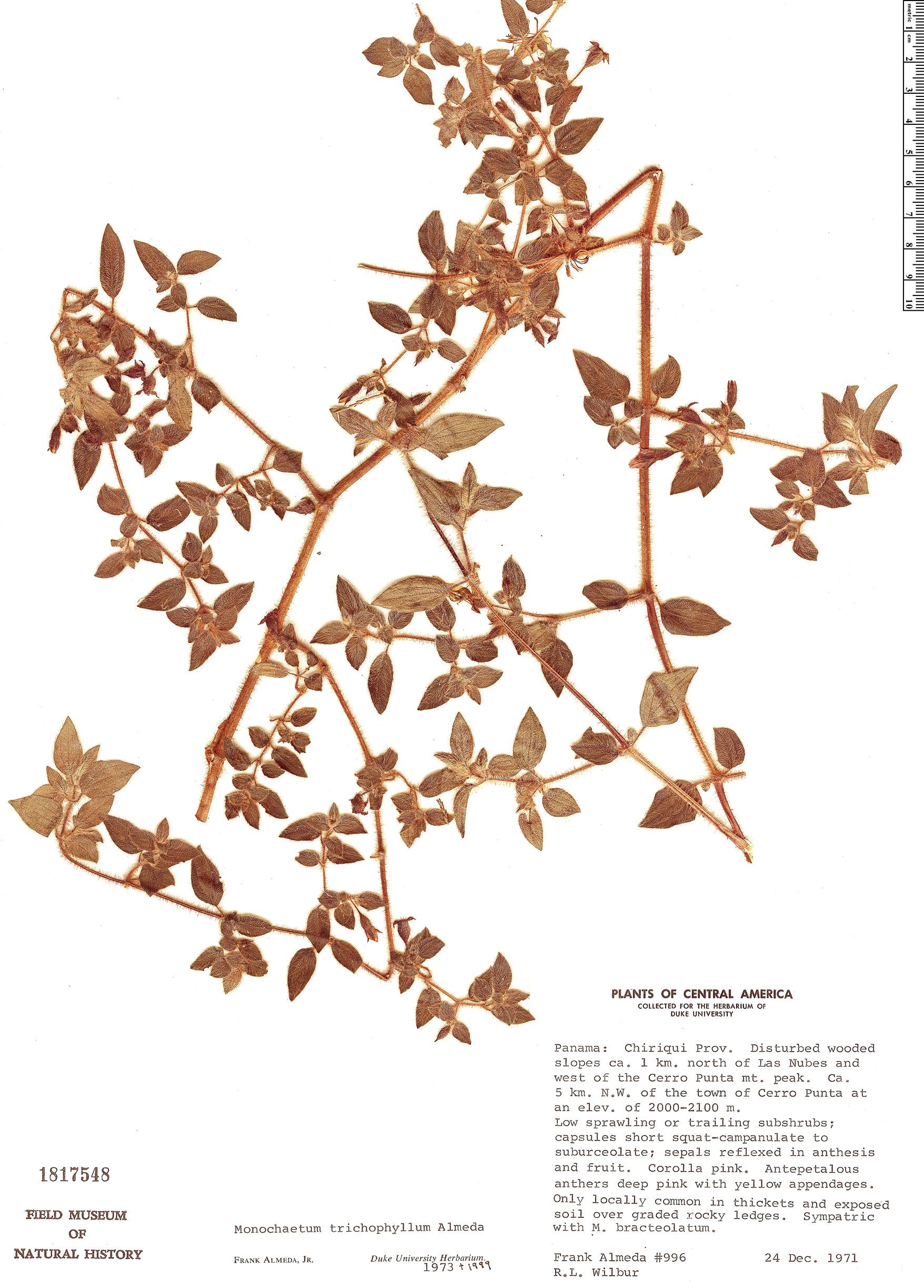 Specimen: Monochaetum trichophyllum