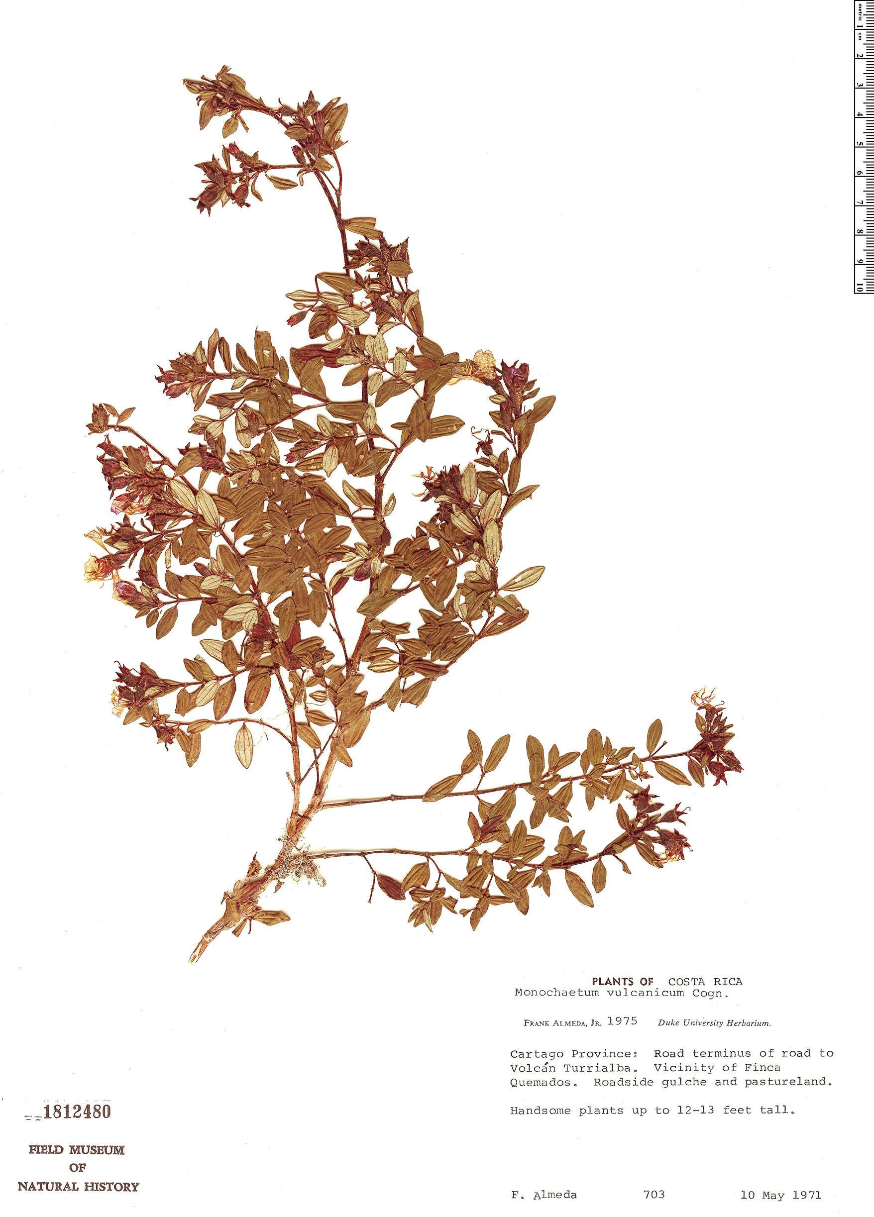 Specimen: Monochaetum vulcanicum