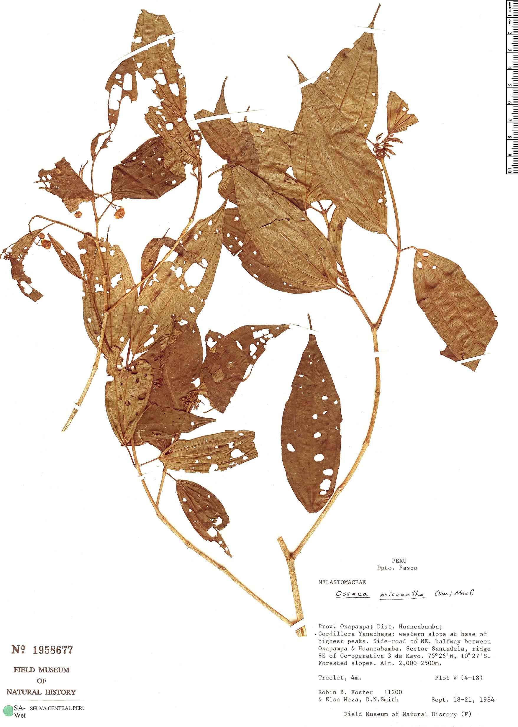 Specimen: Miconia neomicrantha