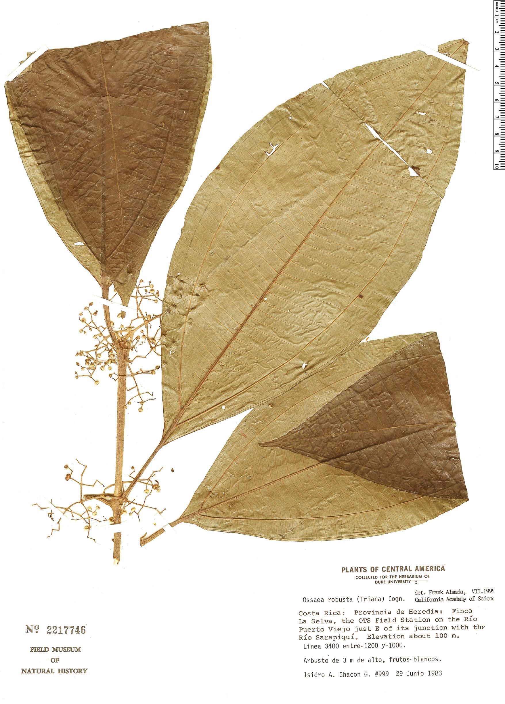 Specimen: Ossaea robusta