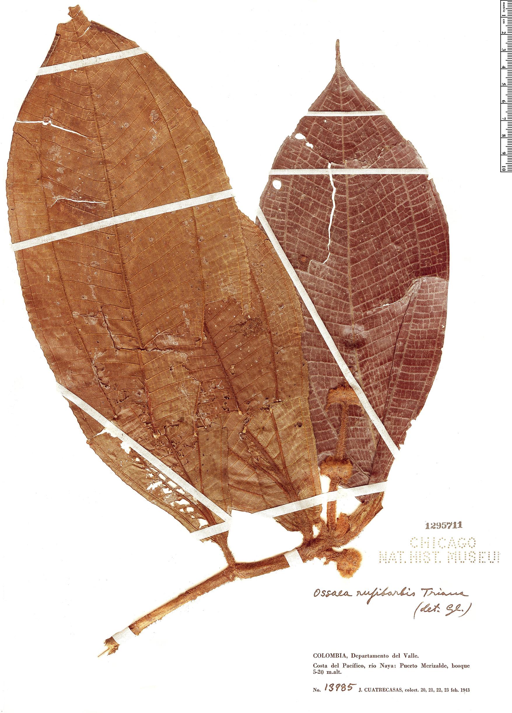 Specimen: Ossaea rufibarbis