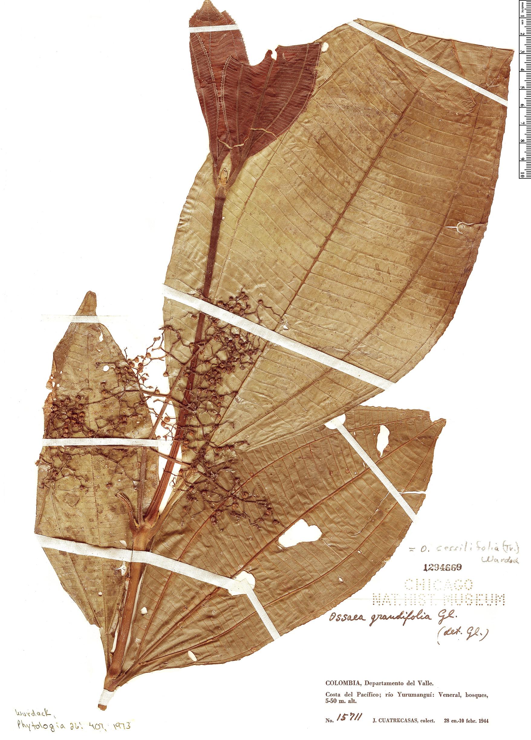 Specimen: Ossaea sessilifolia