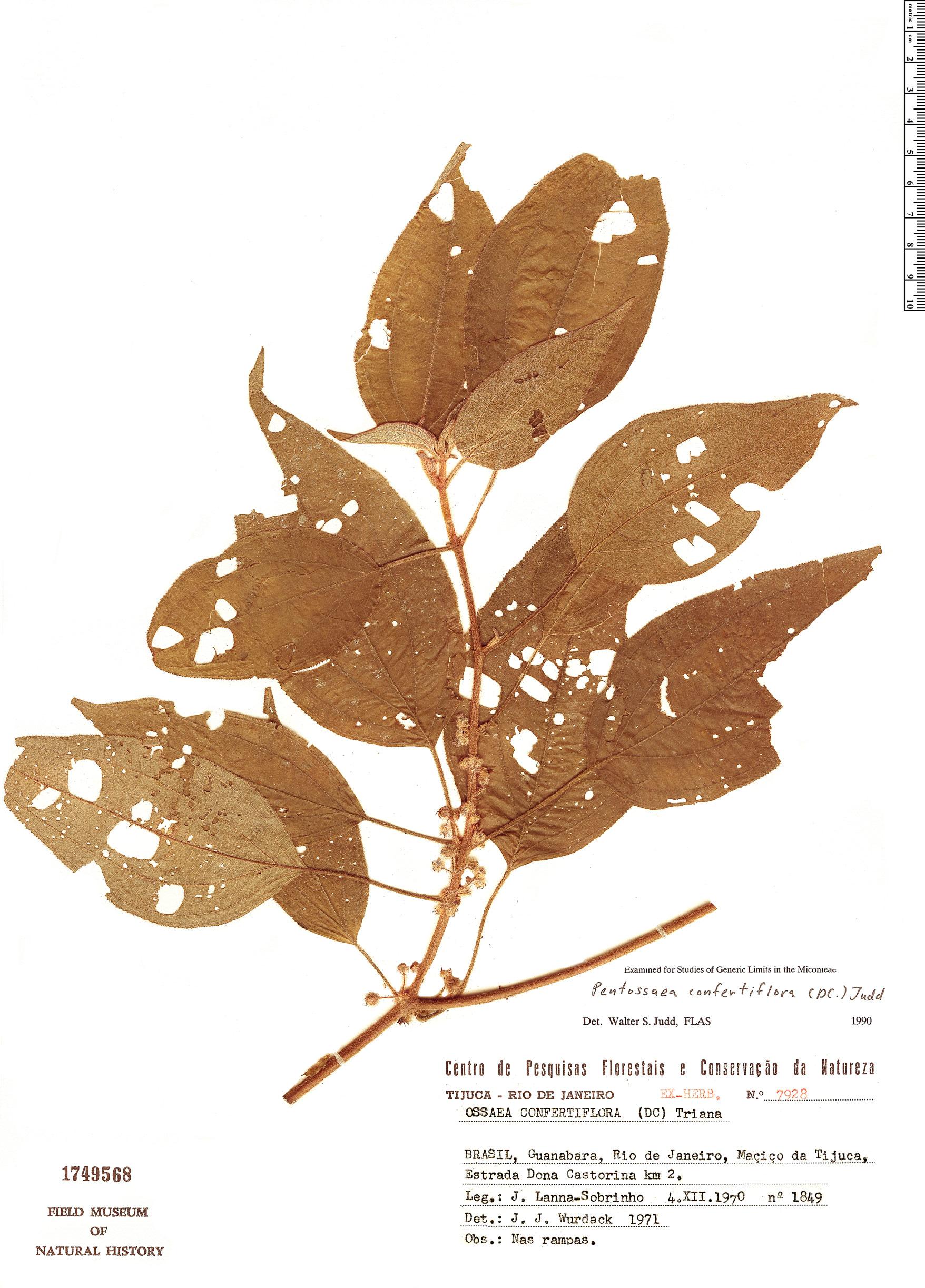 Specimen: Pentossaea confertiflora