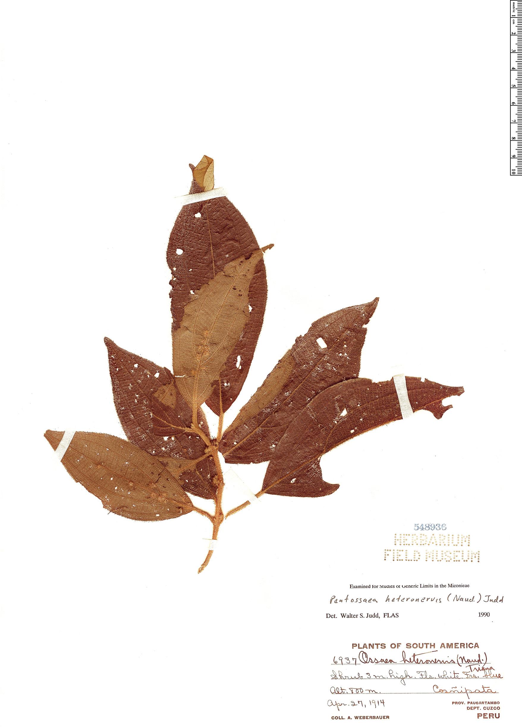 Specimen: Pentossaea heteronervis