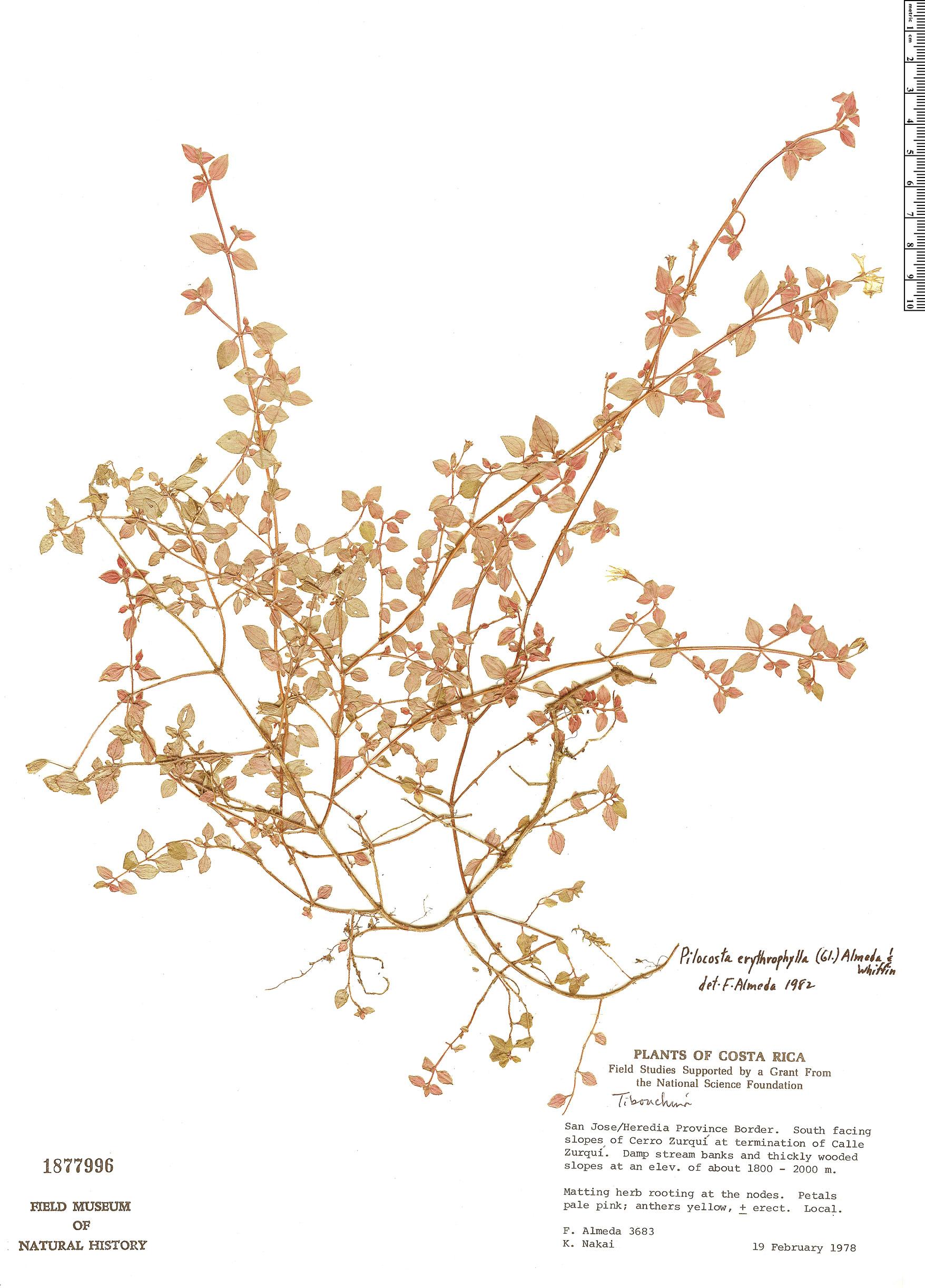 Specimen: Pilocosta erythrophylla