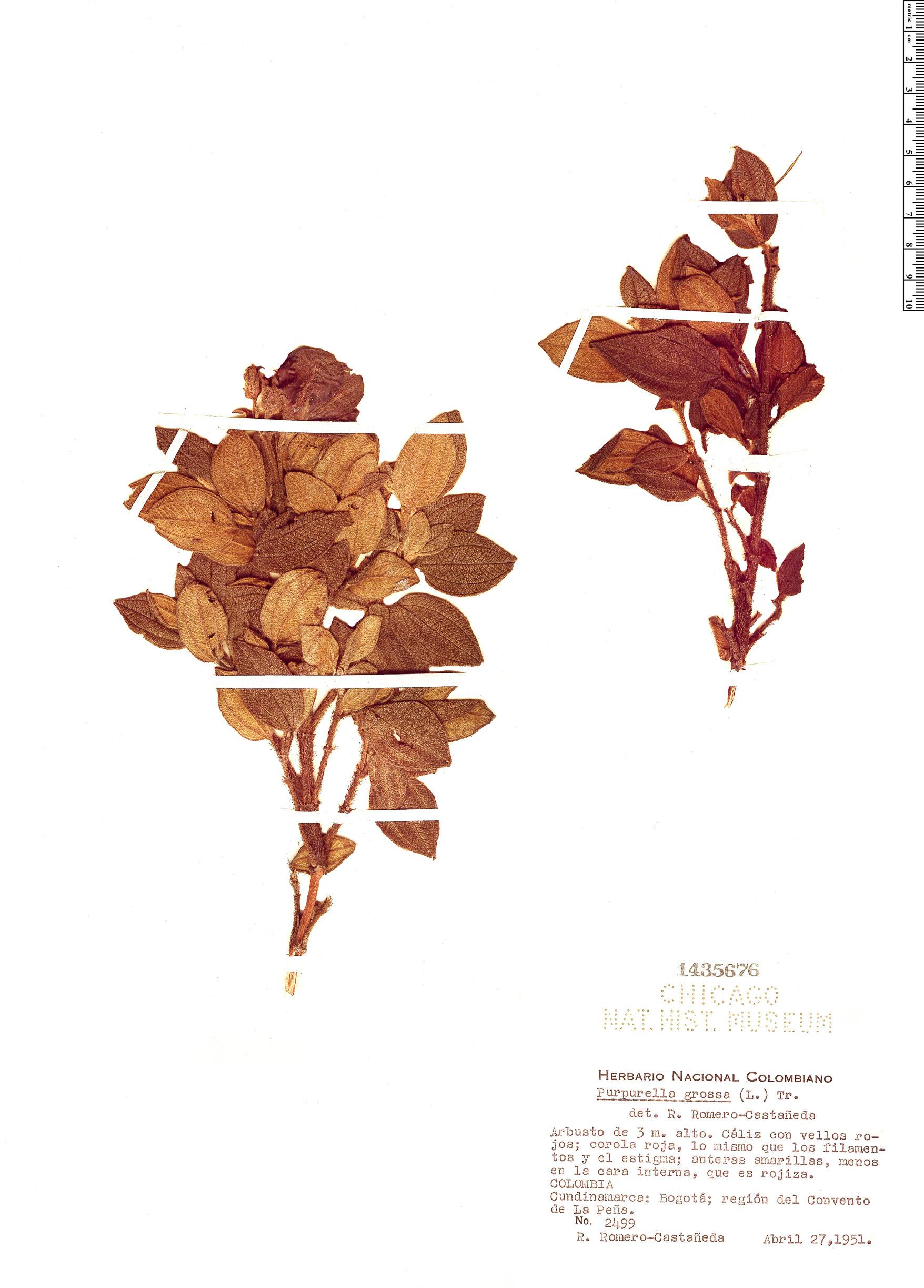 Specimen: Purpurella grossa