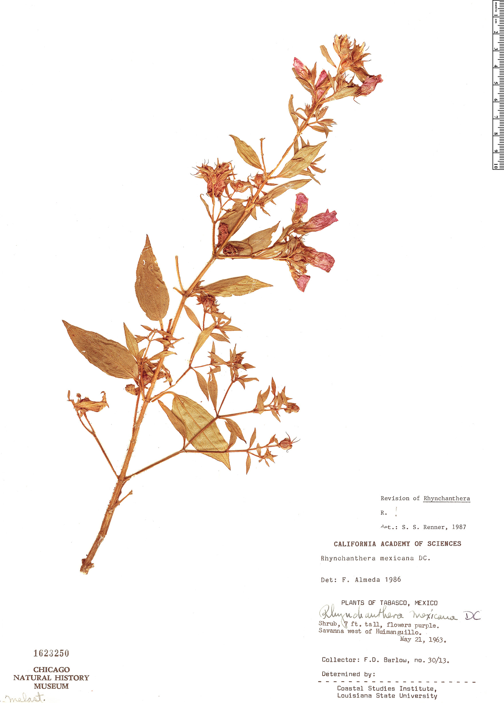 Specimen: Rhynchanthera mexicana