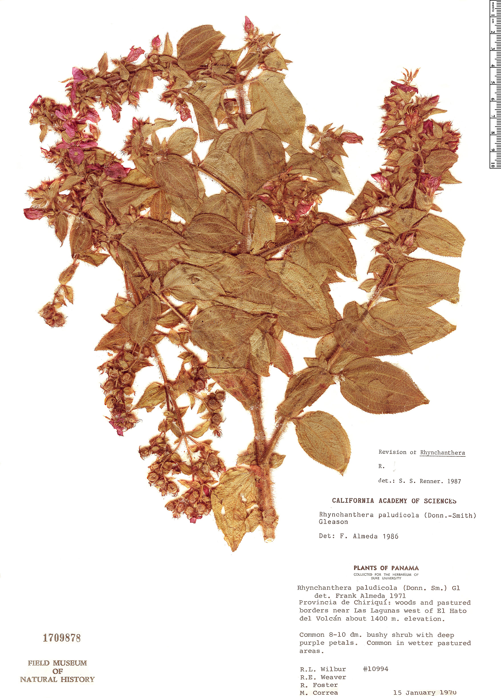 Specimen: Rhynchanthera paludicola