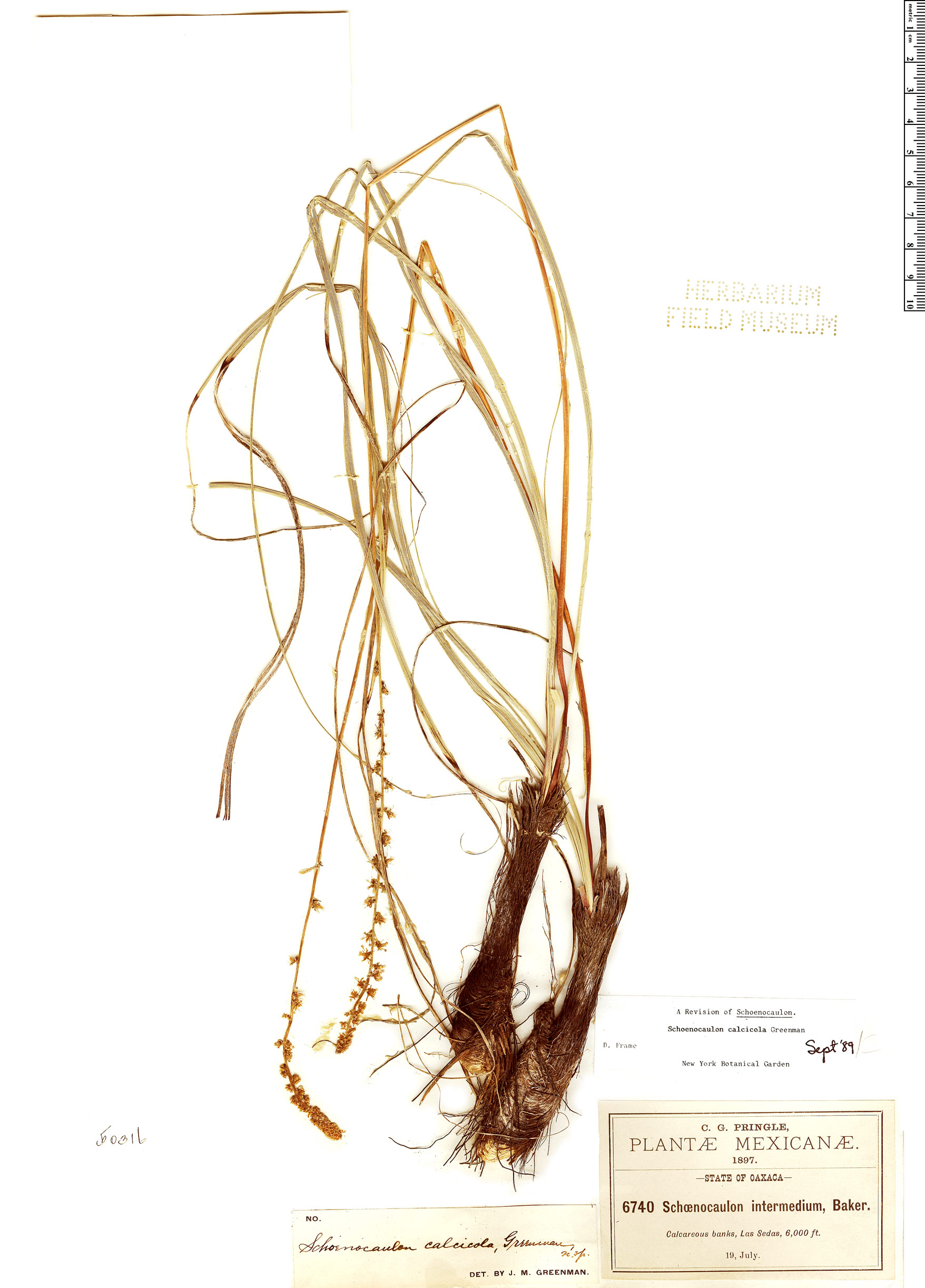 Specimen: Schoenocaulon calcicola