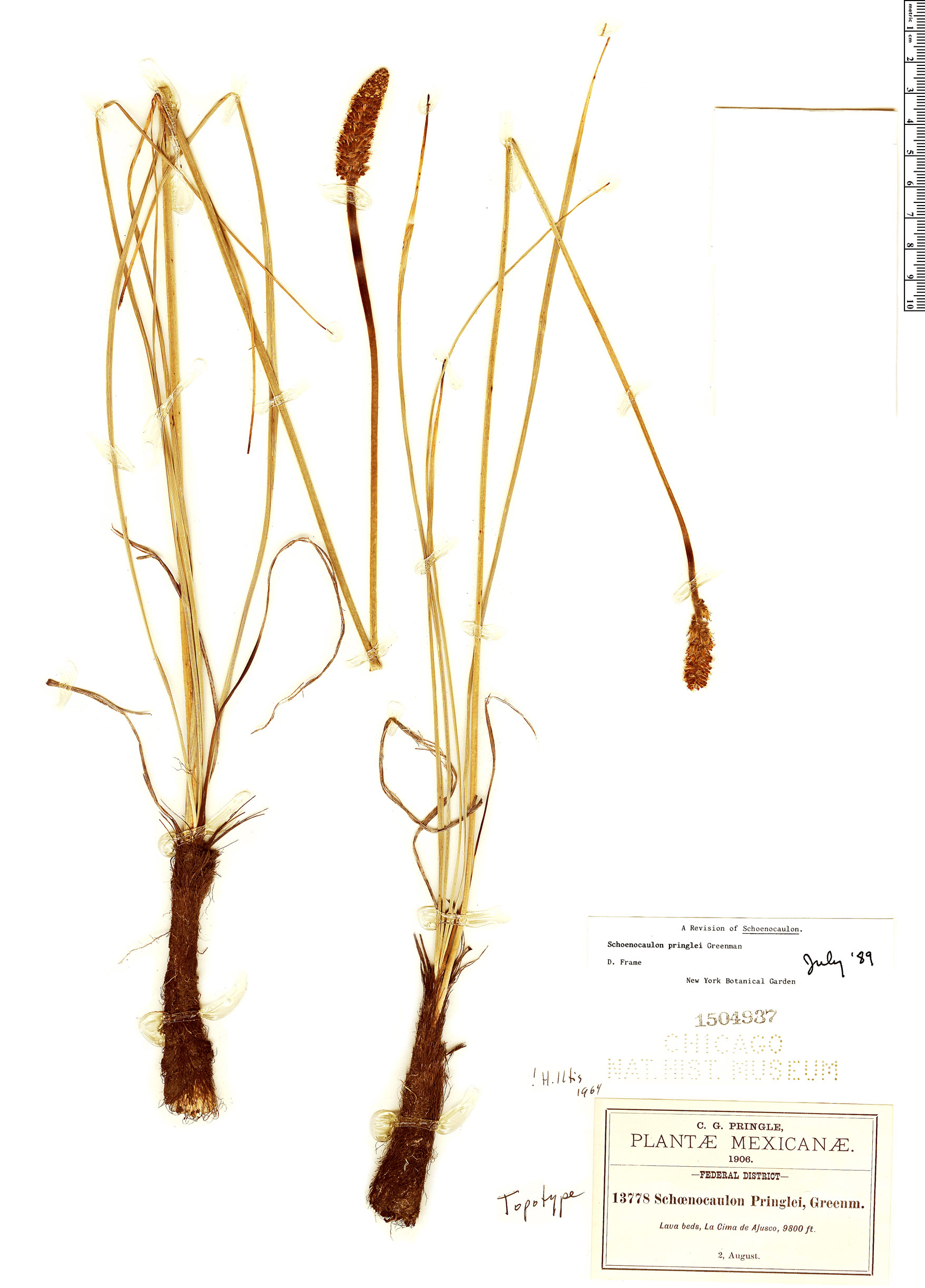Espécime: Schoenocaulon pringlei