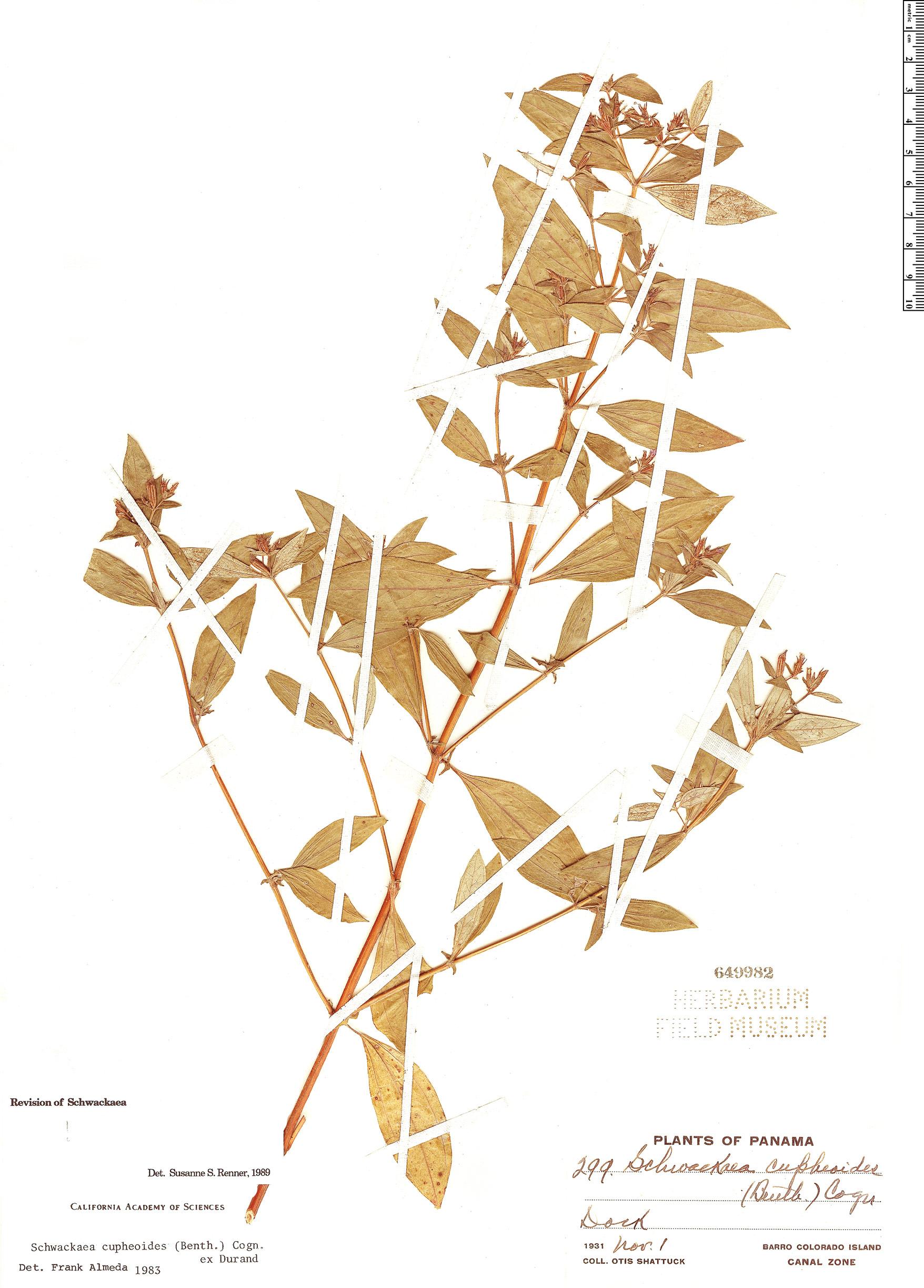 Specimen: Schwackaea cupheoides