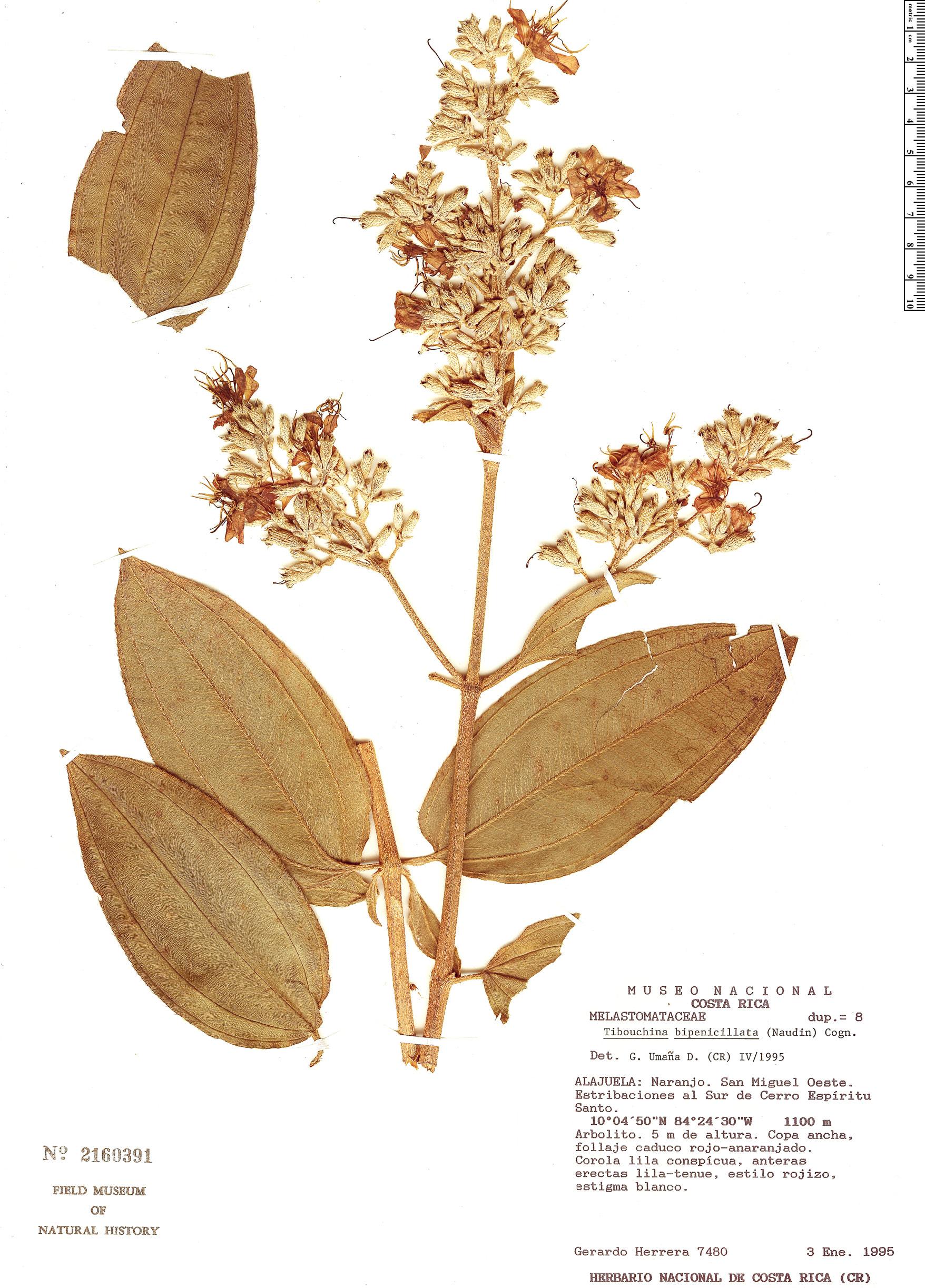 Specimen: Tibouchina bipenicillata