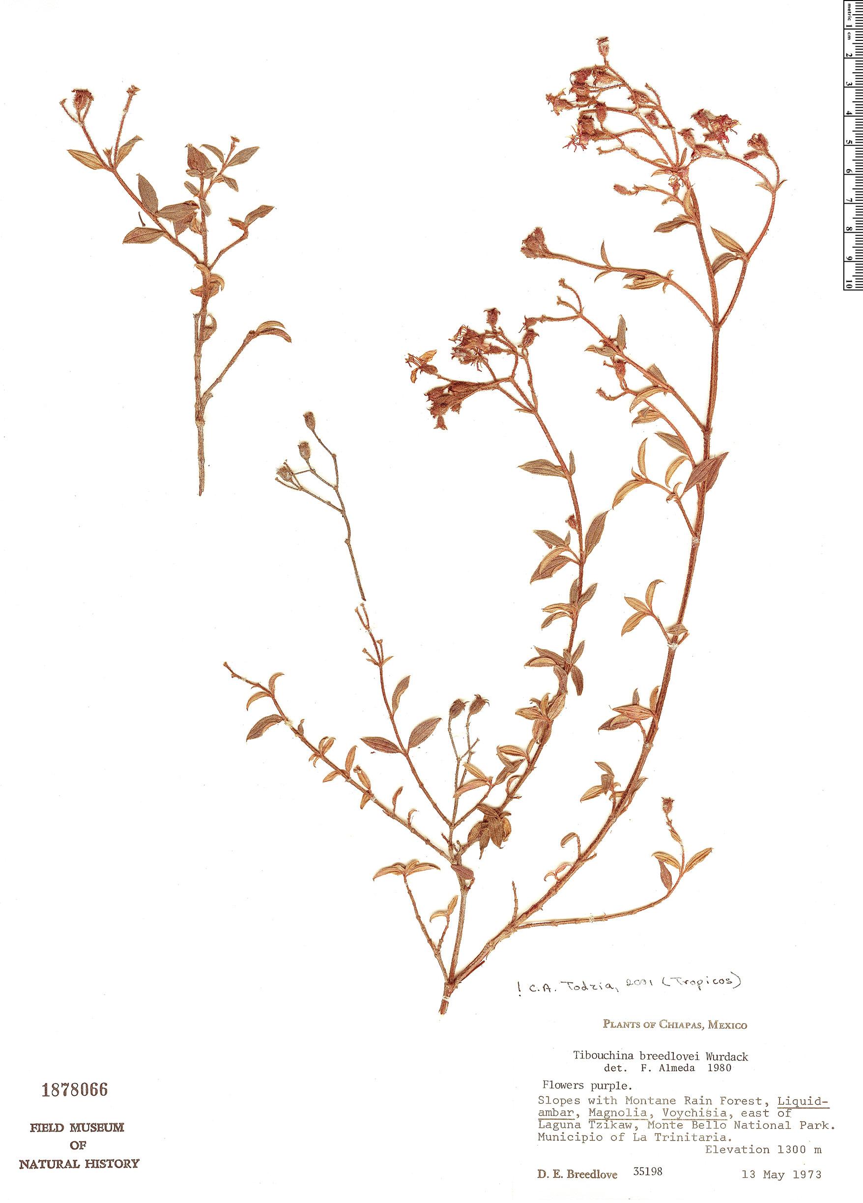 Specimen: Tibouchina breedlovei