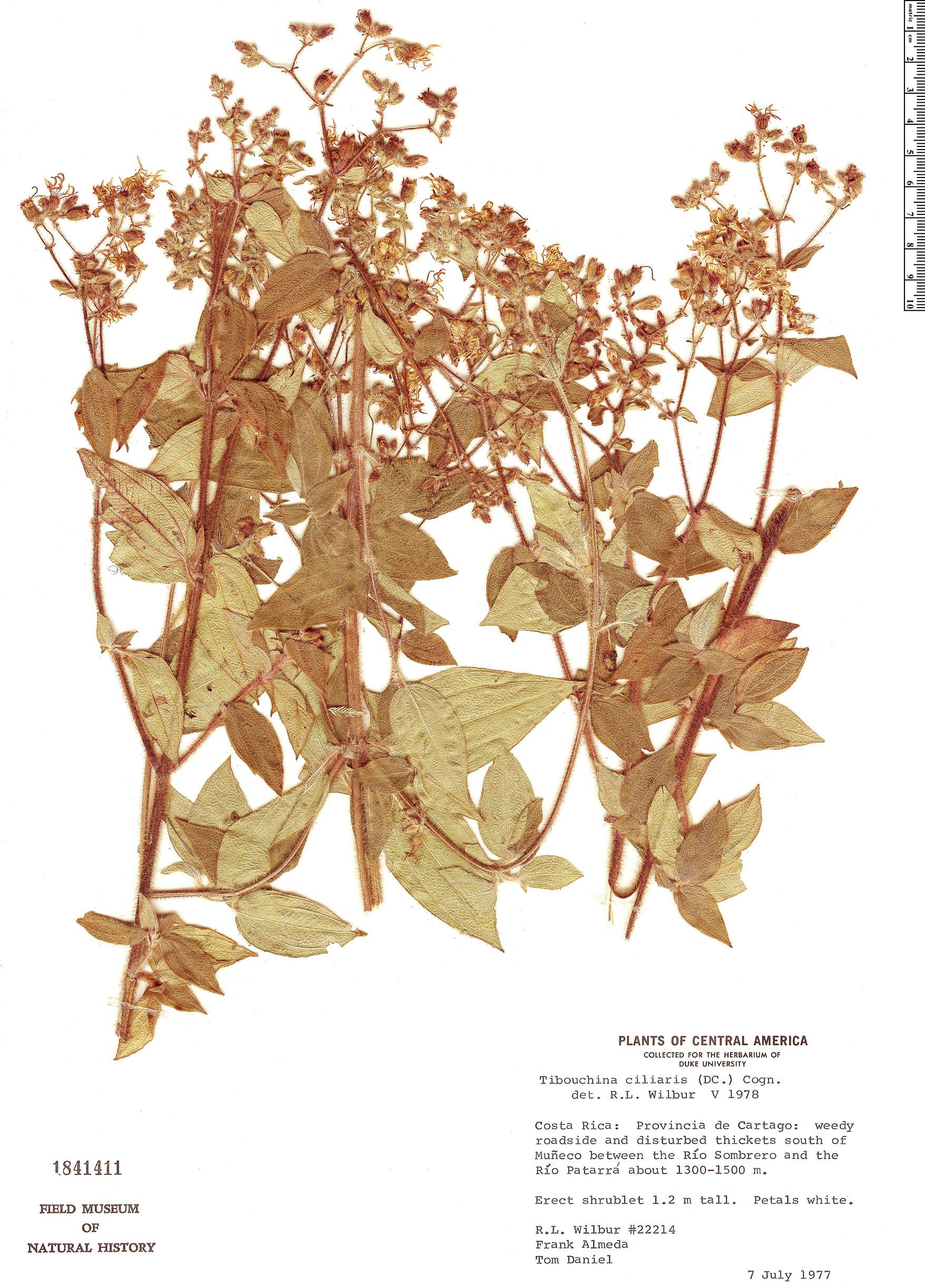 Specimen: Tibouchina ciliaris