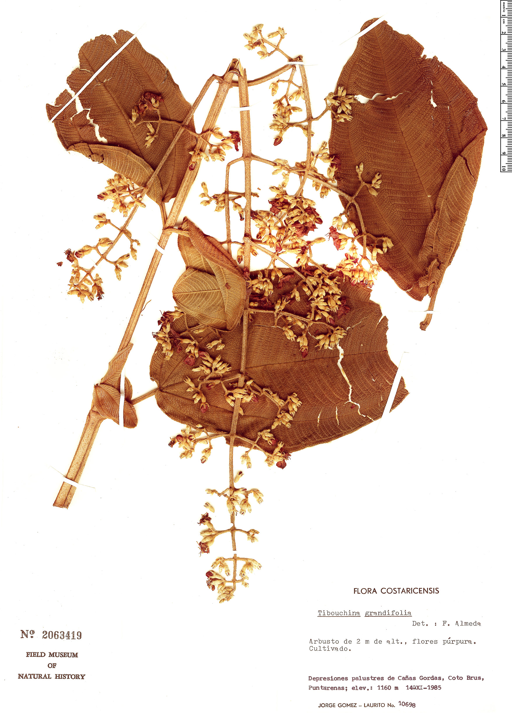 Specimen: Tibouchina grandifolia