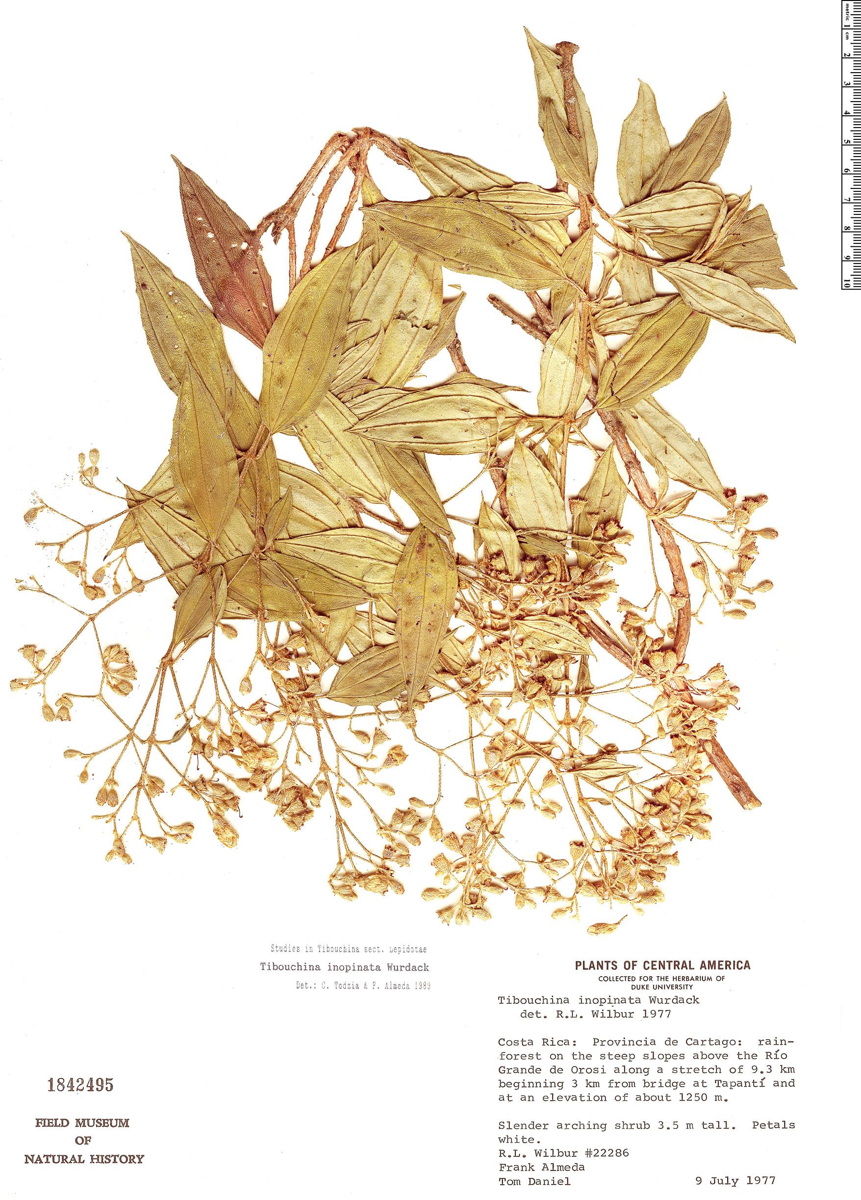 Specimen: Tibouchina inopinata