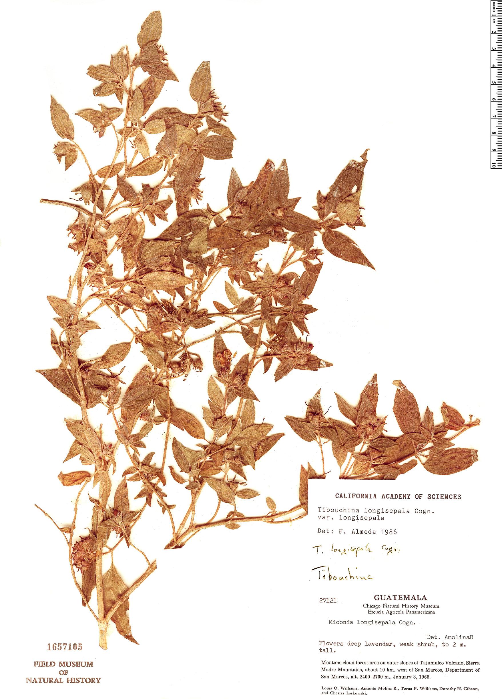 Specimen: Tibouchina longisepala