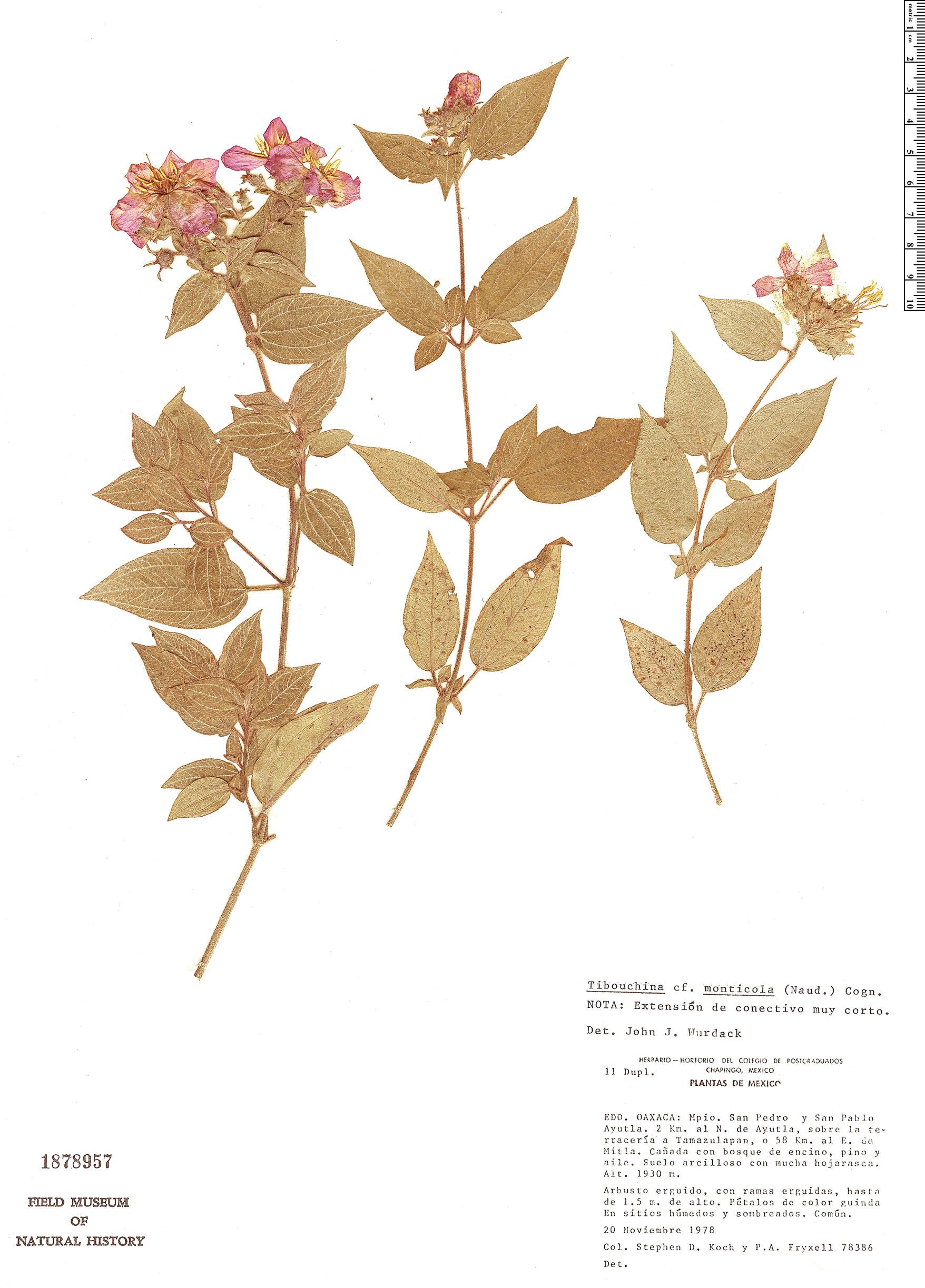 Specimen: Tibouchina monticola