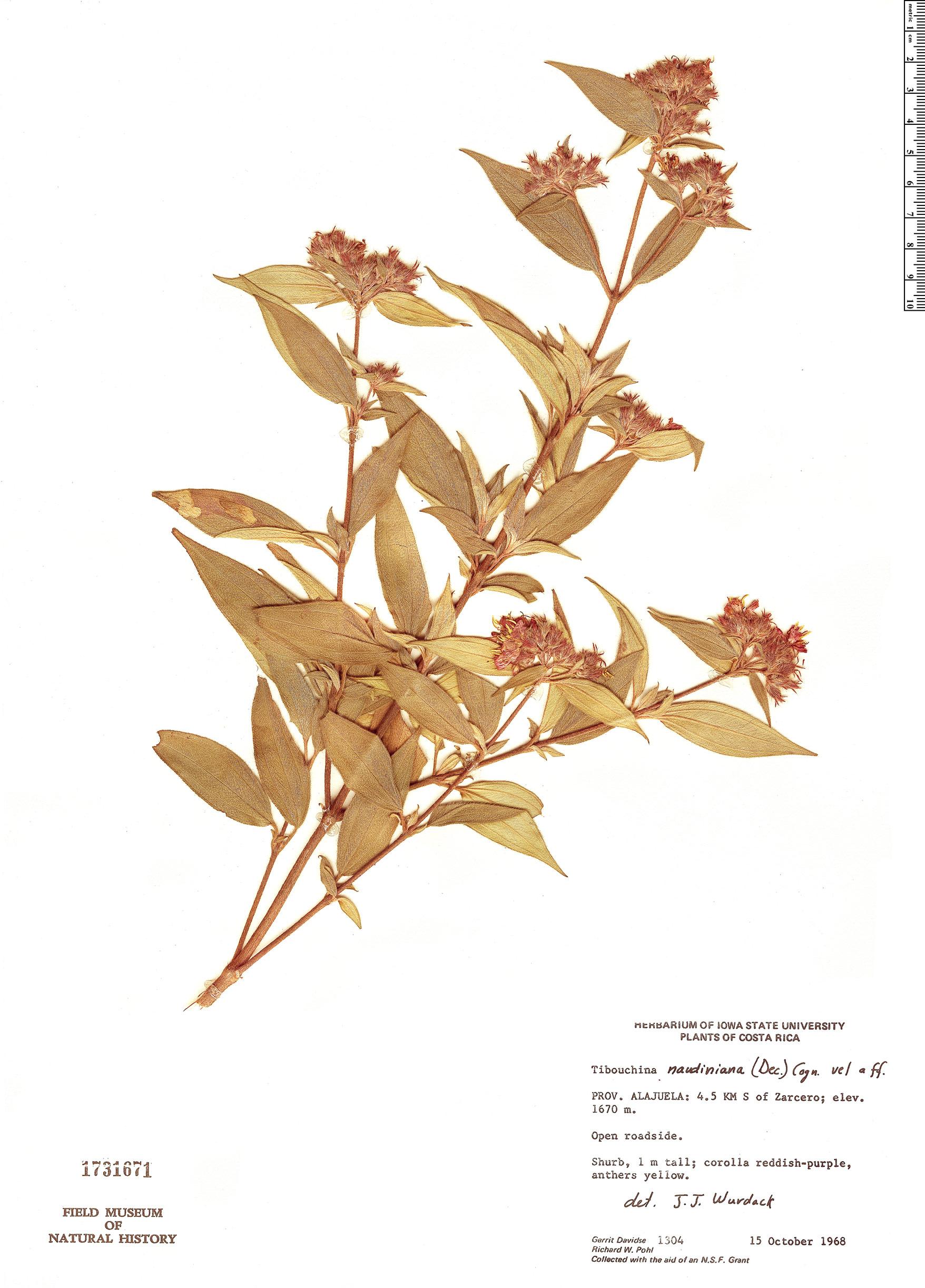 Specimen: Tibouchina naudiniana