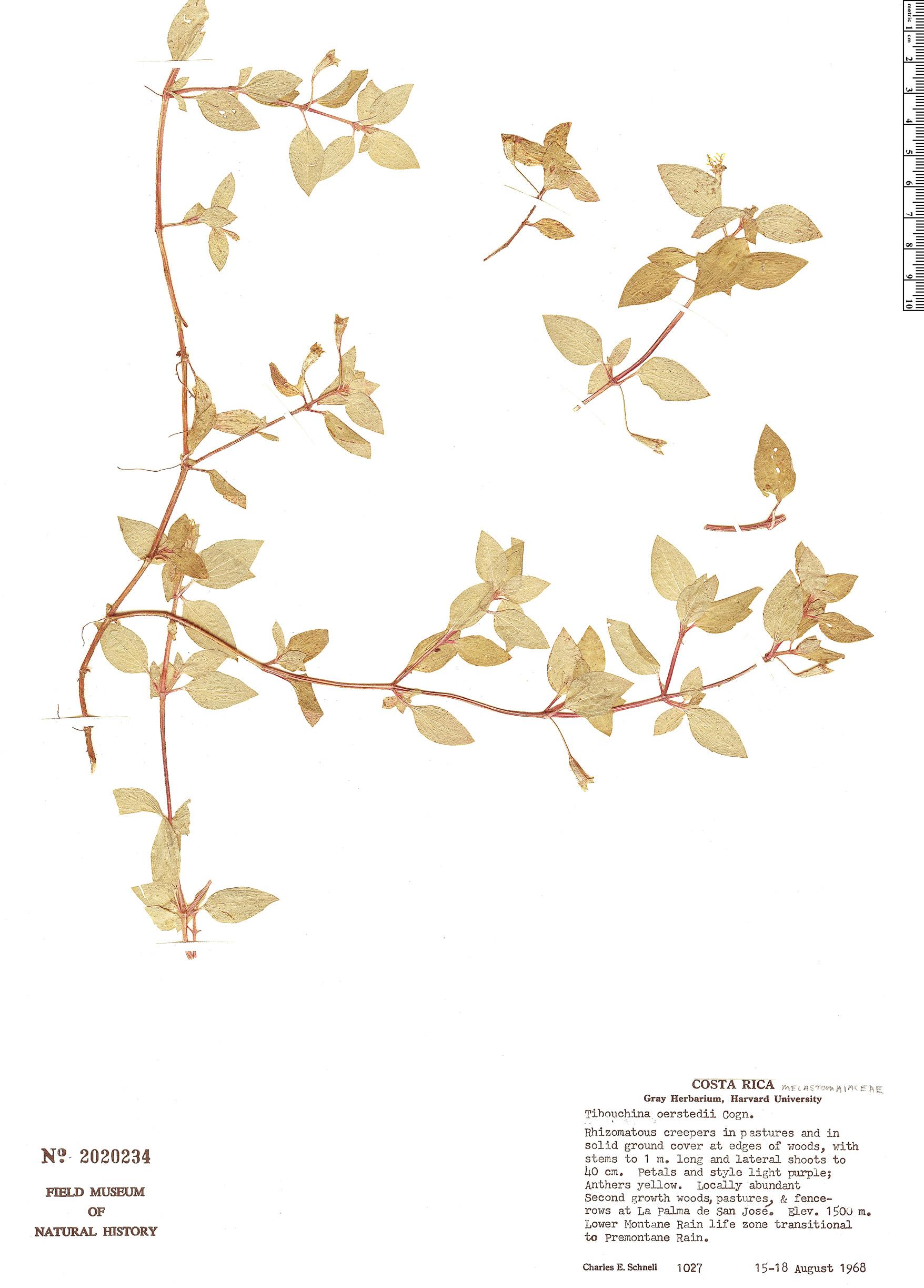 Specimen: Tibouchina oerstedii