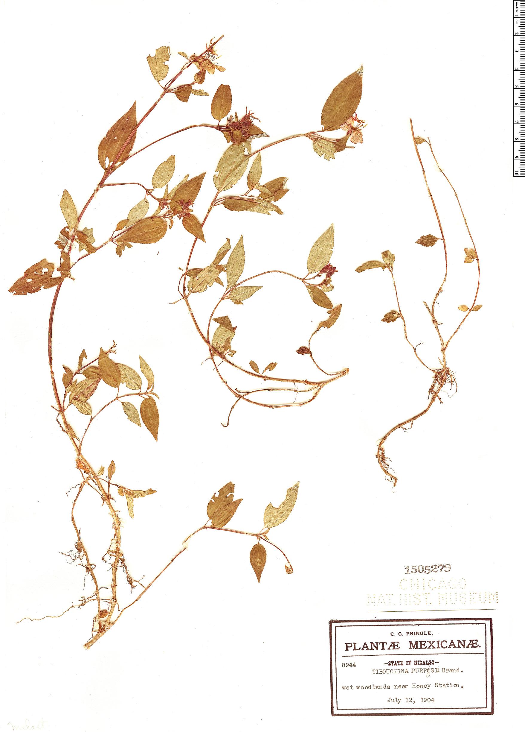 Specimen: Tibouchina purpusii