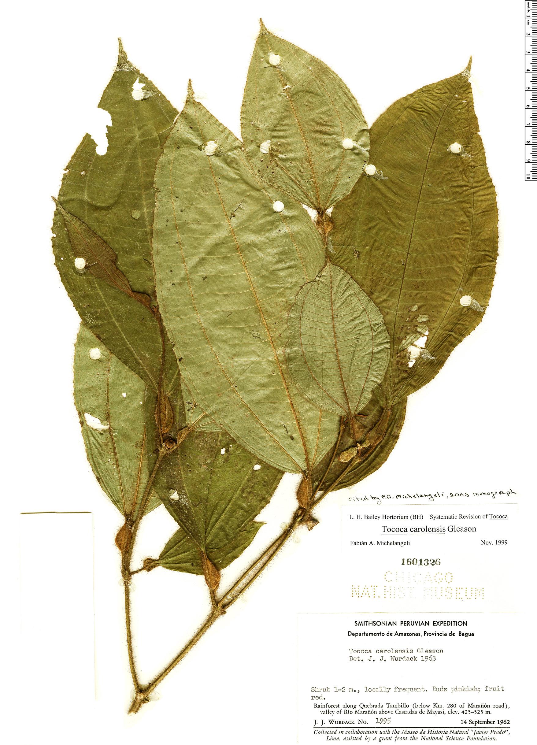 Specimen: Tococa carolensis