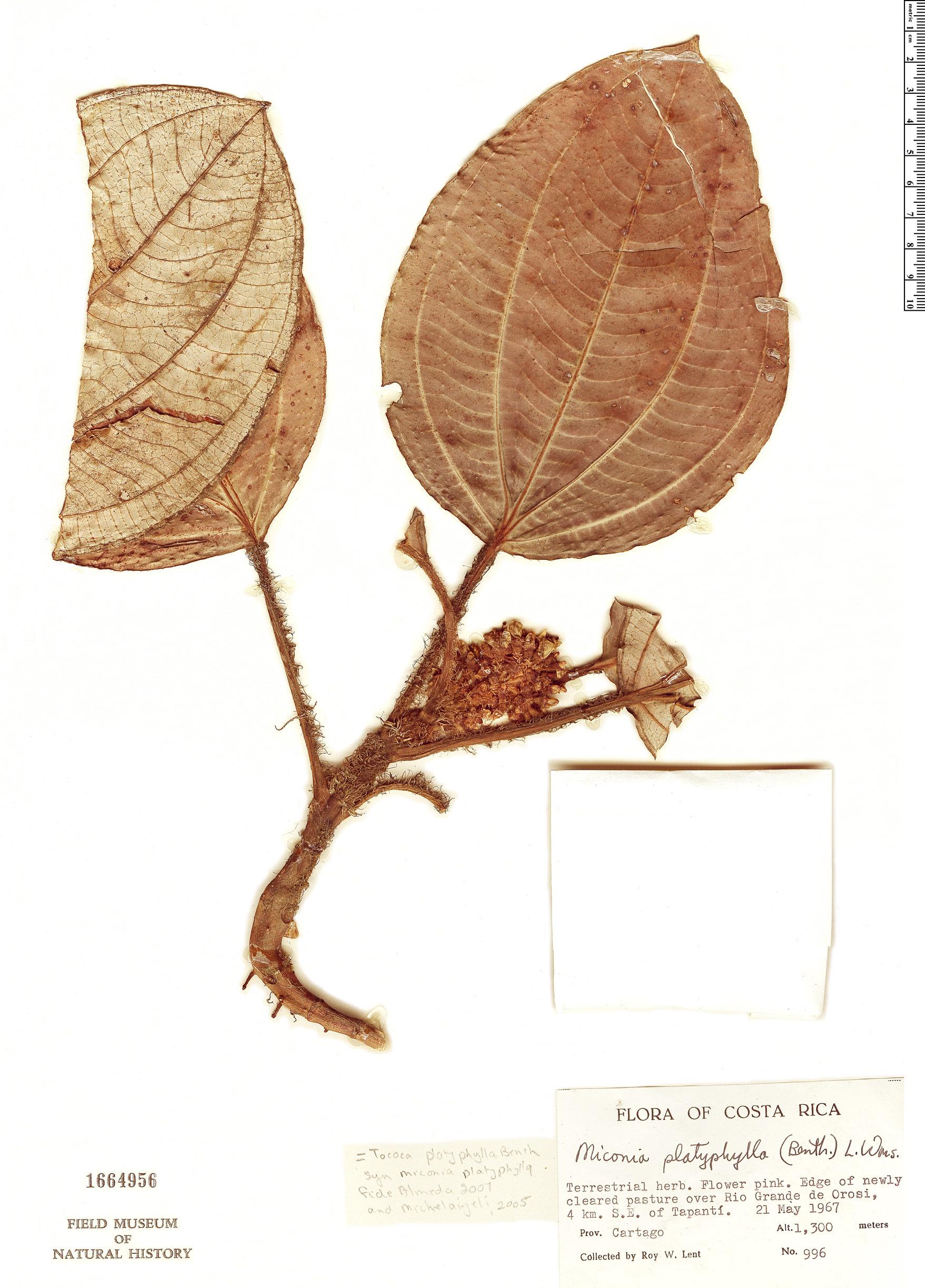 Specimen: Tococa platyphylla