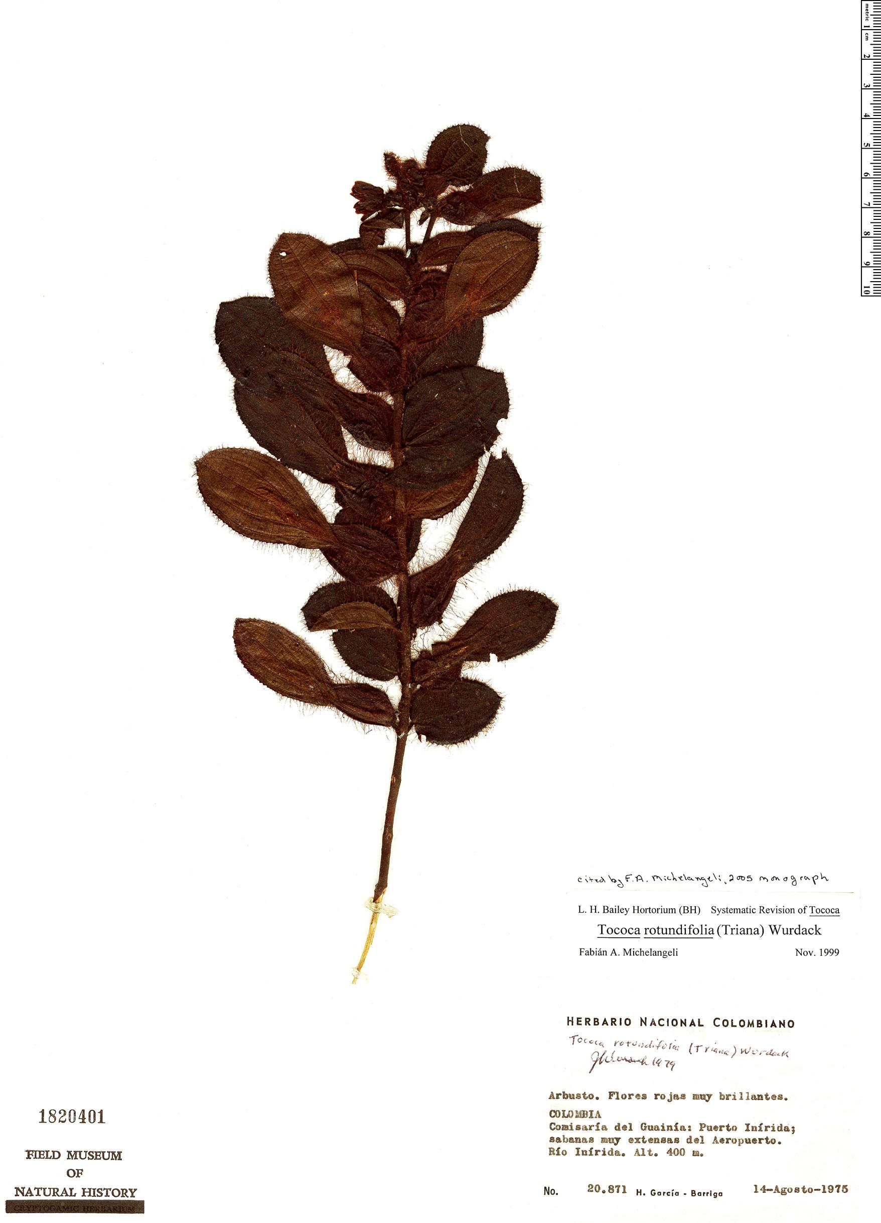 Specimen: Tococa rotundifolia