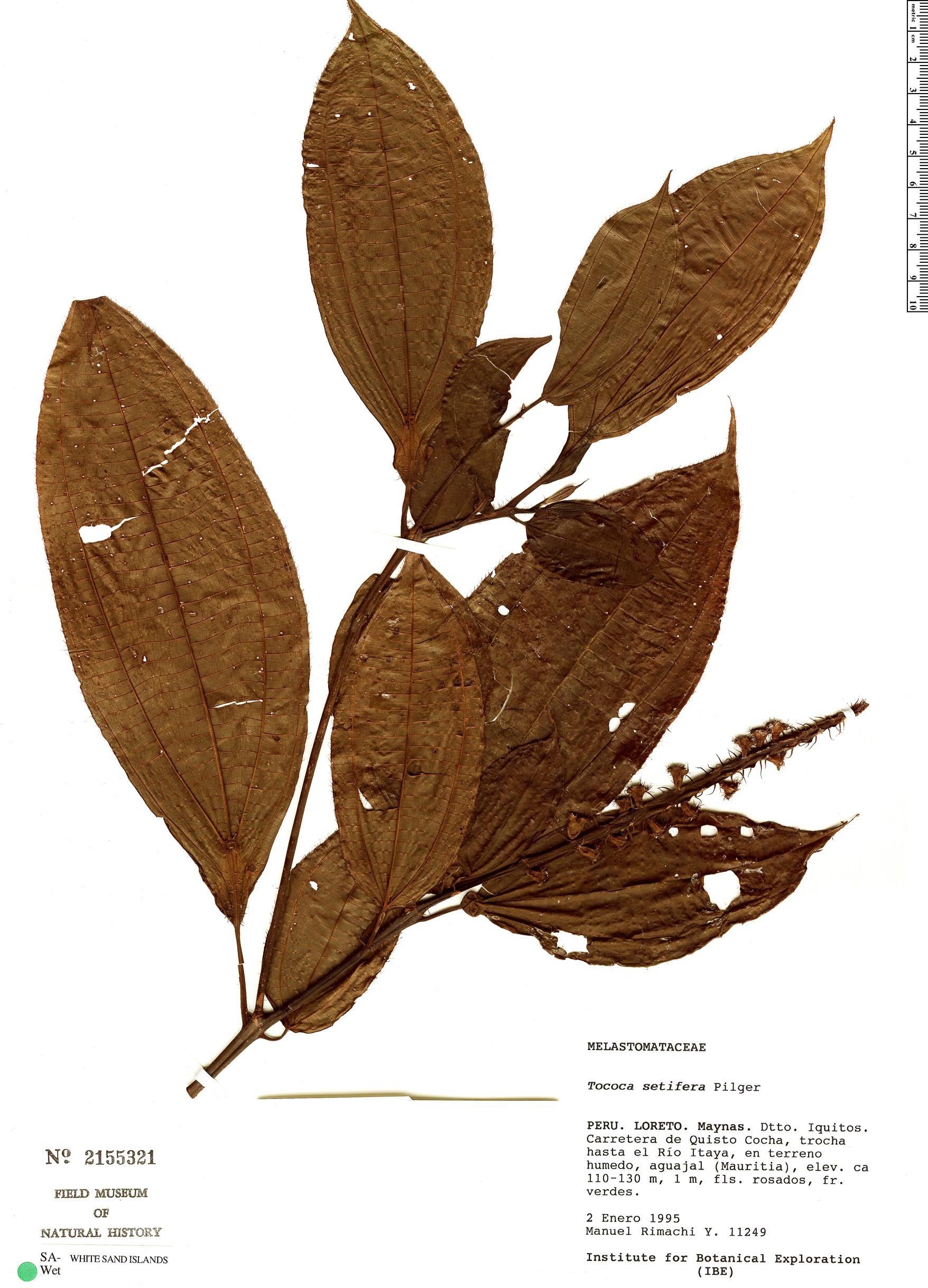 Specimen: Tococa setifera