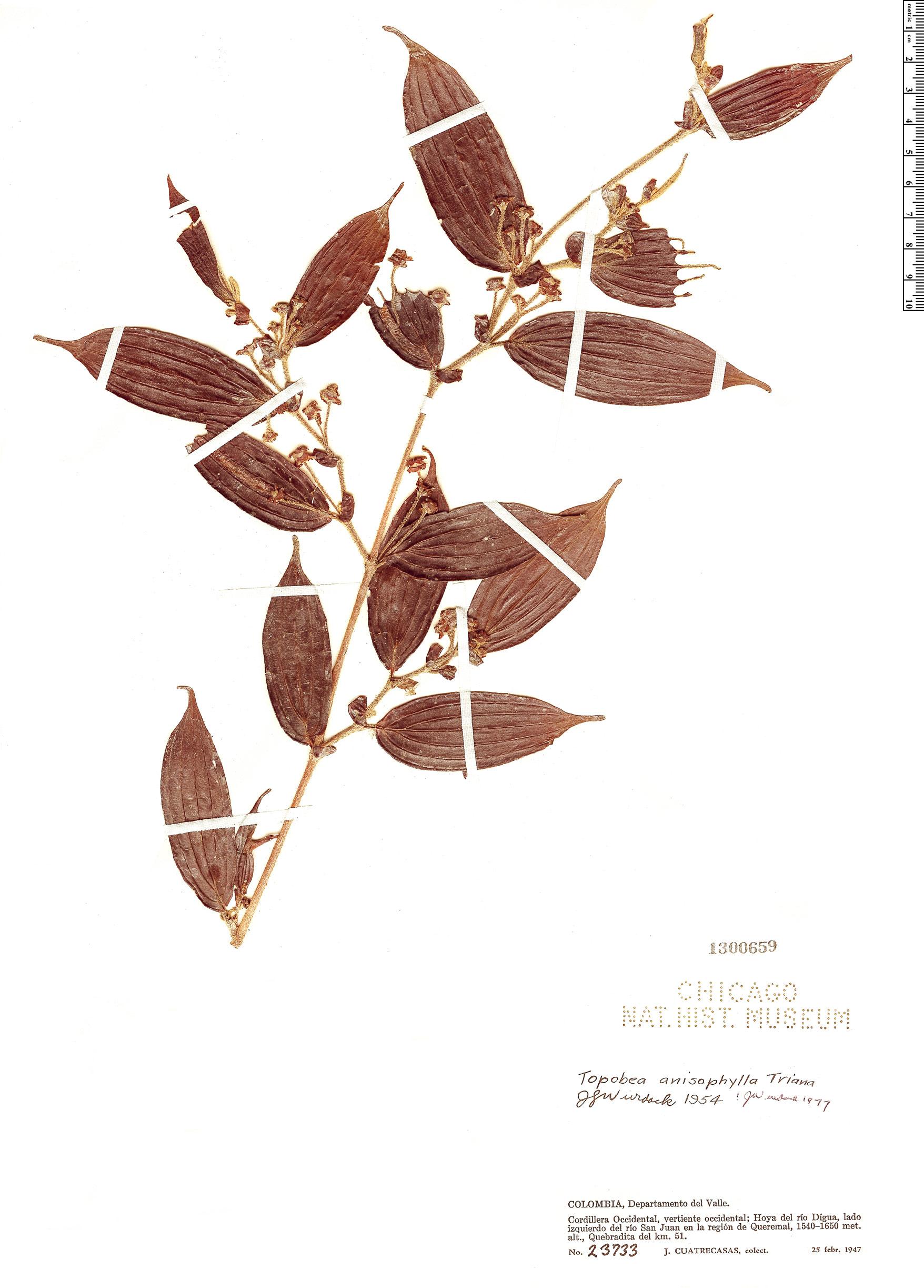 Specimen: Blakea anisophylla