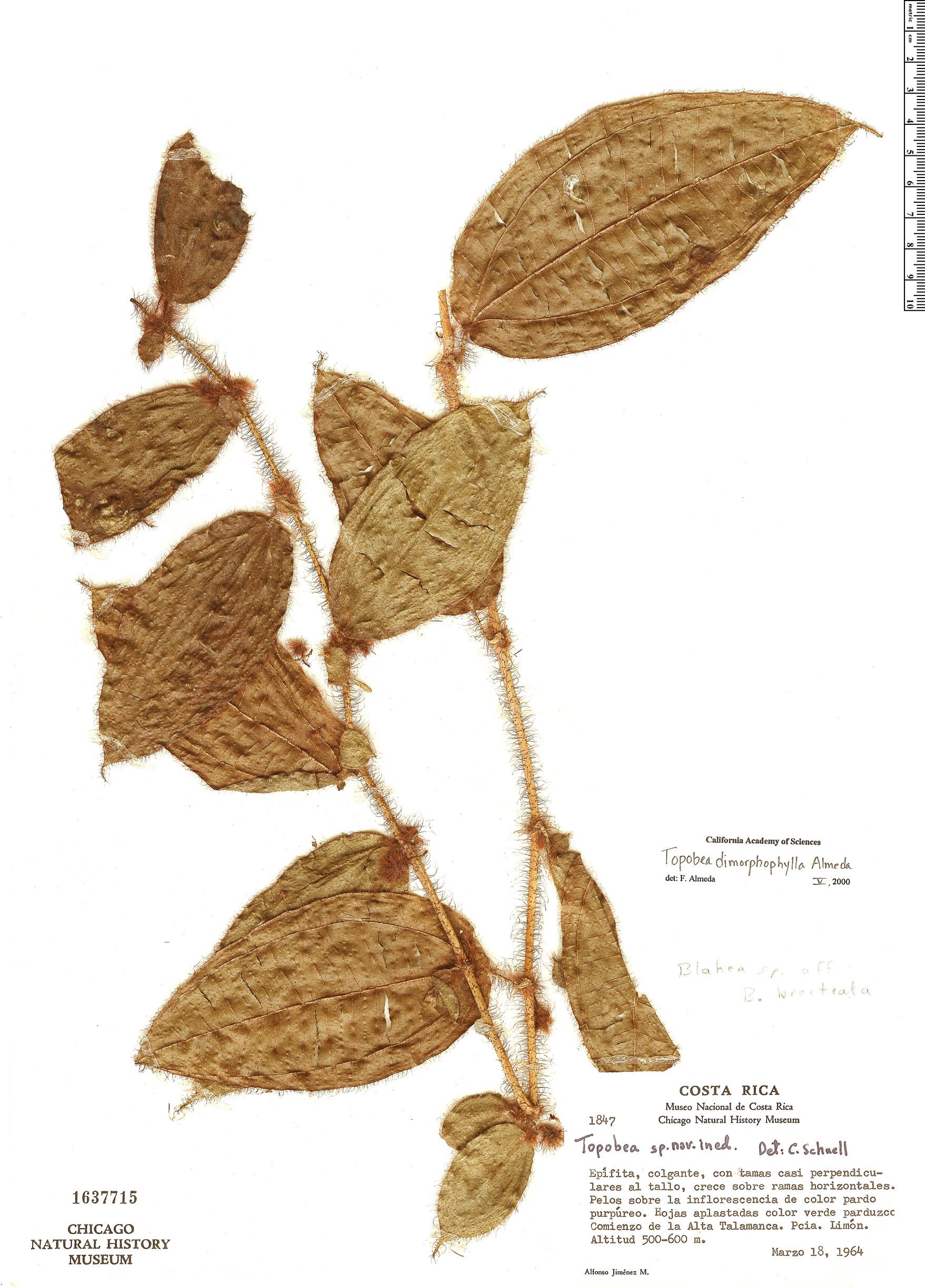 Specimen: Blakea dimorphophylla