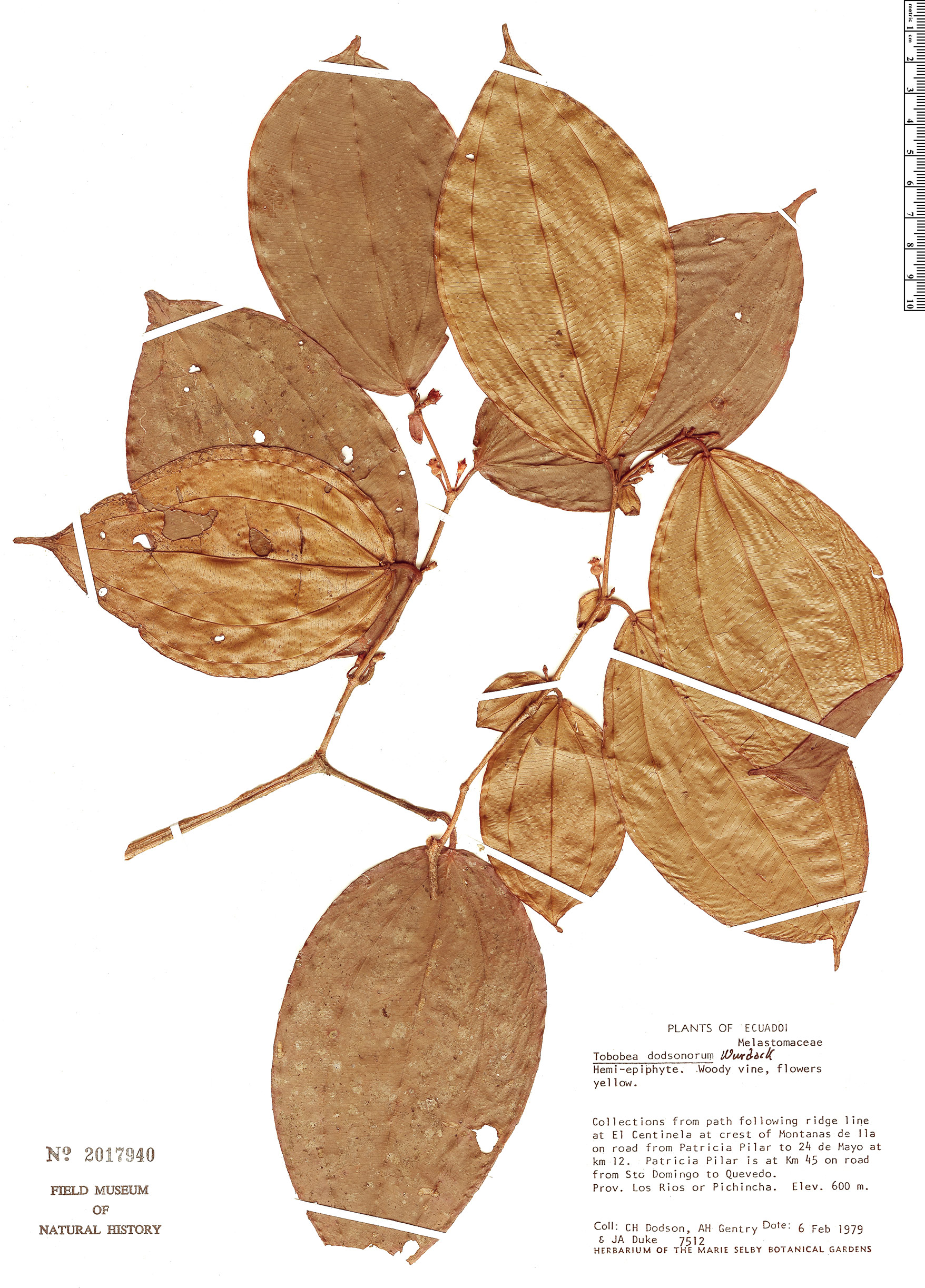 Specimen: Blakea dodsoniorum