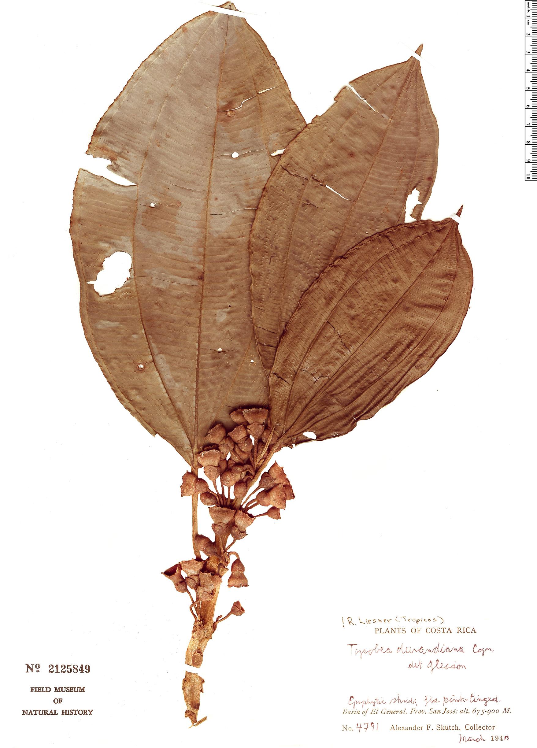 Specimen: Blakea maurofernandeziana