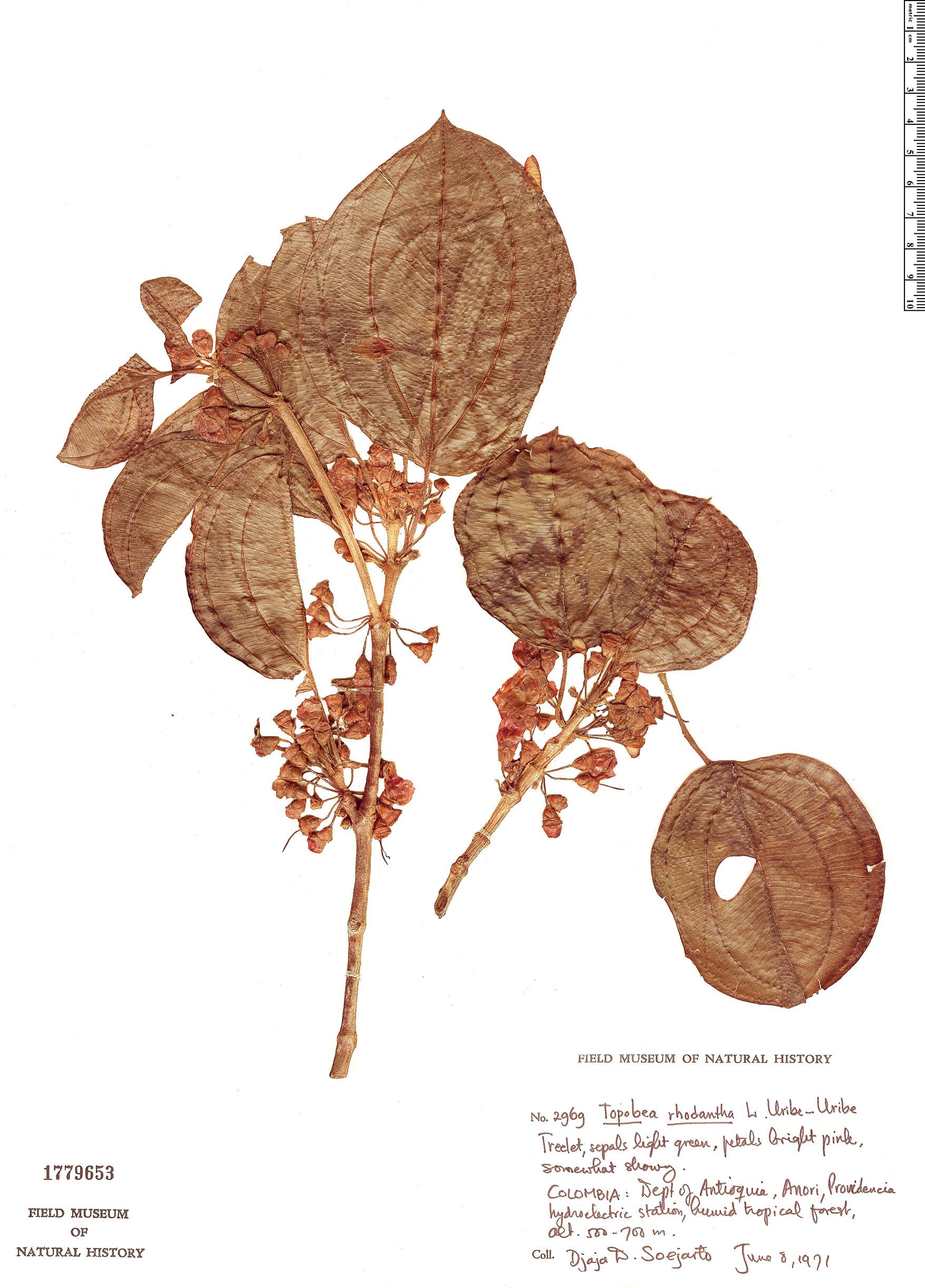 Specimen: Topobea rhodantha