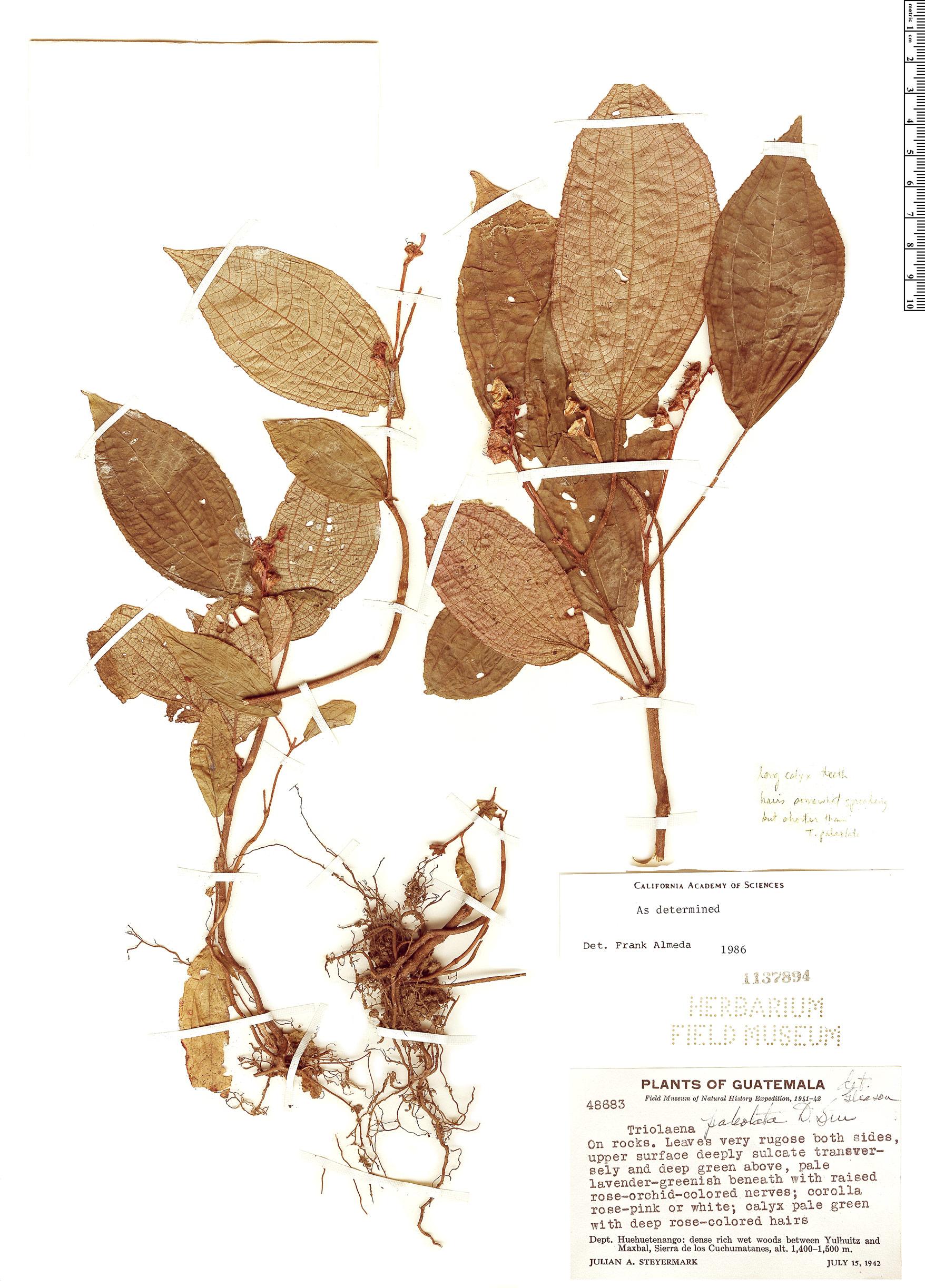 Espécime: Triolena paleolata