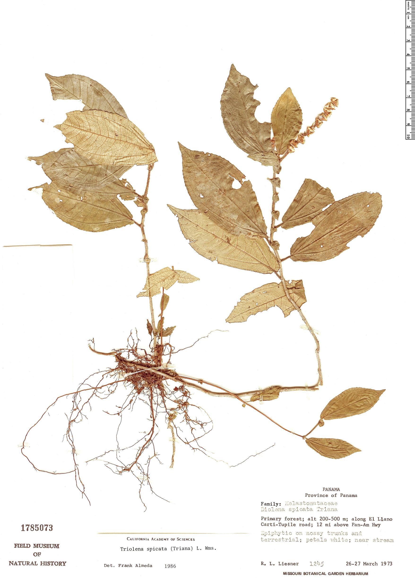 Specimen: Triolena spicata
