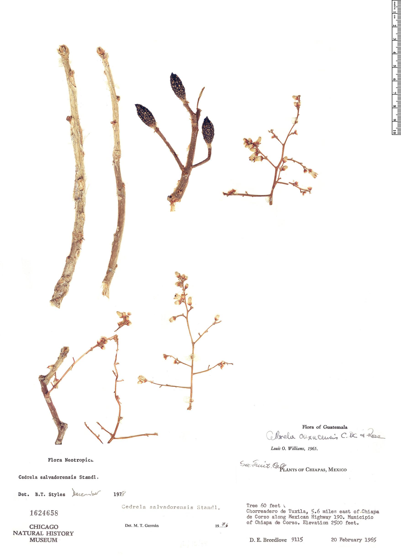 Specimen: Cedrela salvadorensis