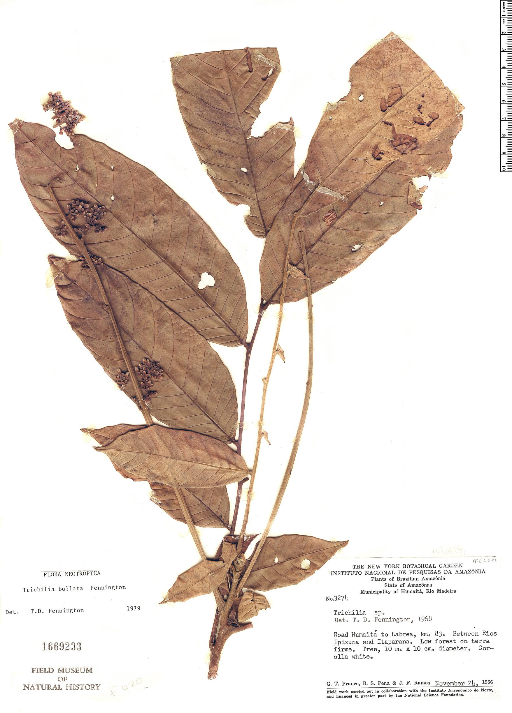 Specimen: Trichilia bullata