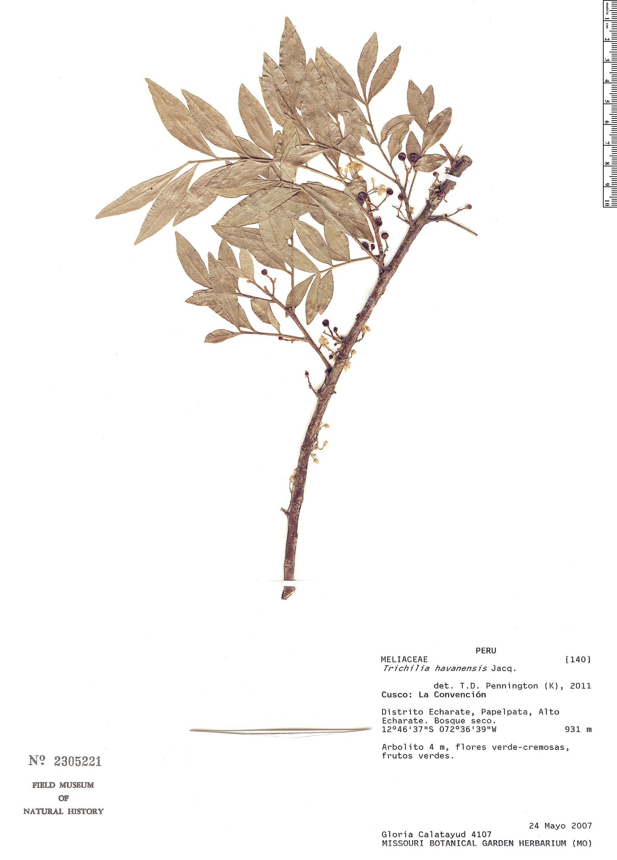 Specimen: Trichilia havanensis