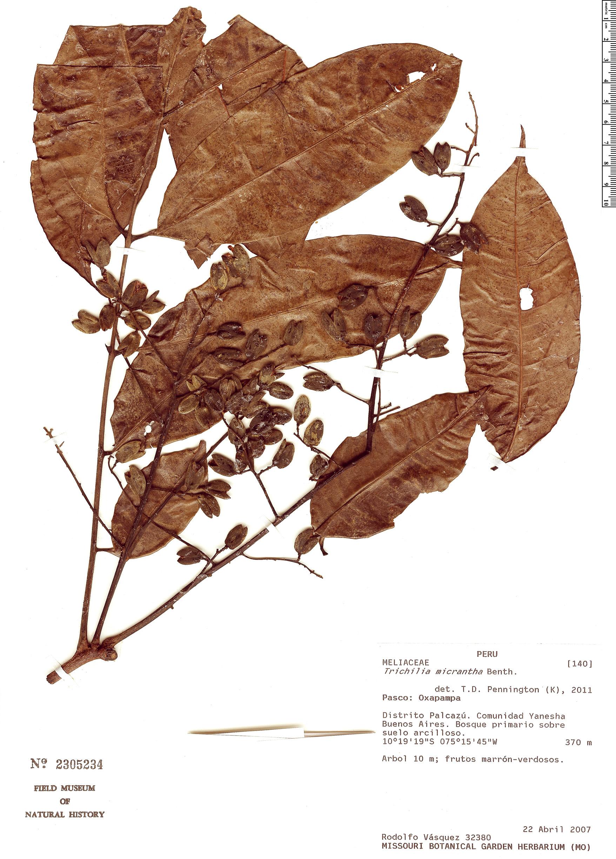 Specimen: Trichilia micrantha
