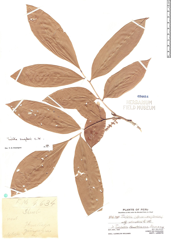 Specimen: Trichilia singularis