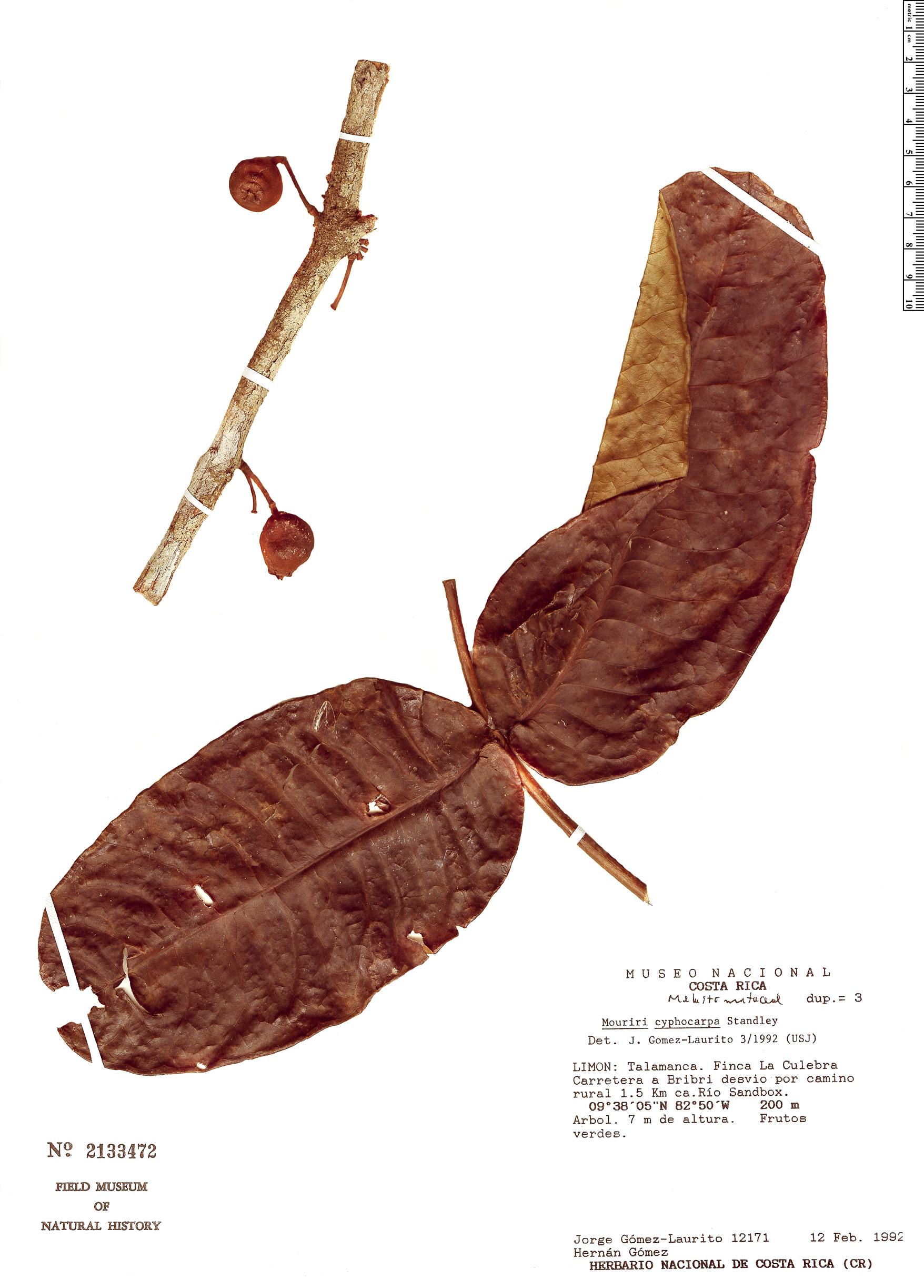 Specimen: Mouriri cyphocarpa