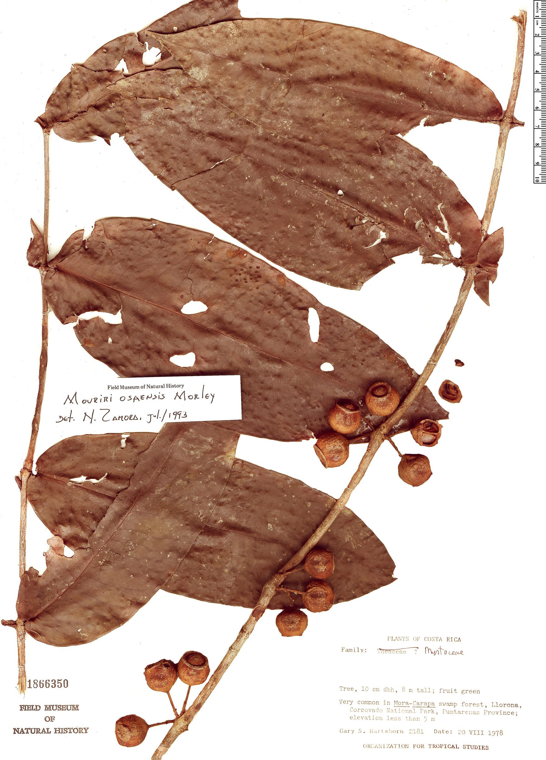 Specimen: Mouriri osaensis