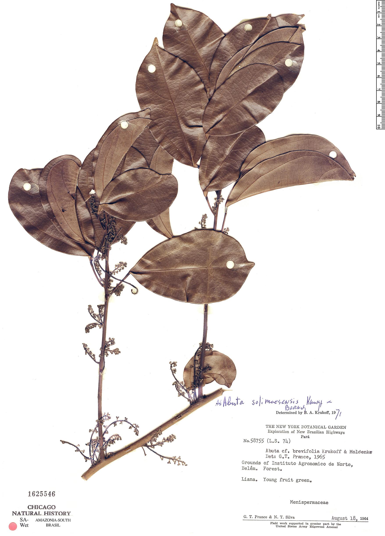 Espécime: Abuta solimoesensis