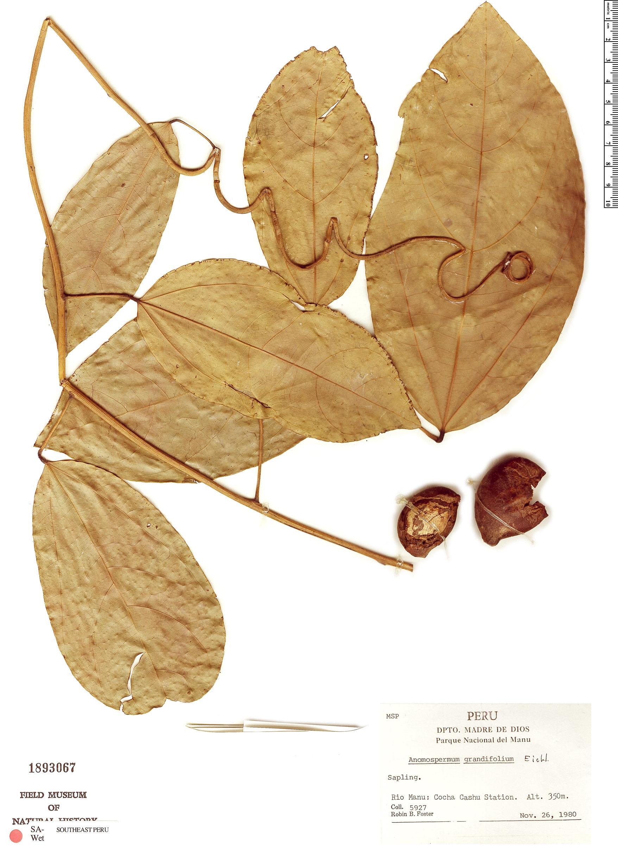 Specimen: Anomospermum grandifolium