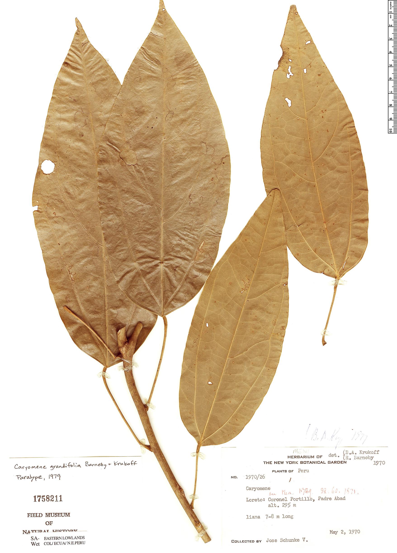 Specimen: Caryomene grandifolia