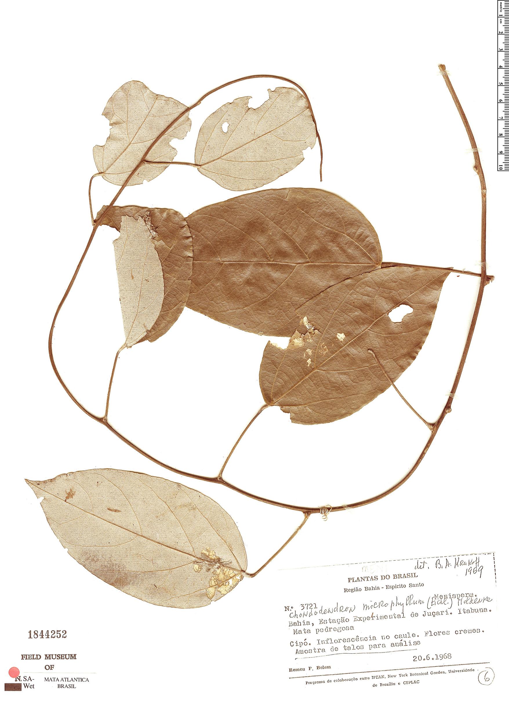 Specimen: Chondrodendron microphyllum
