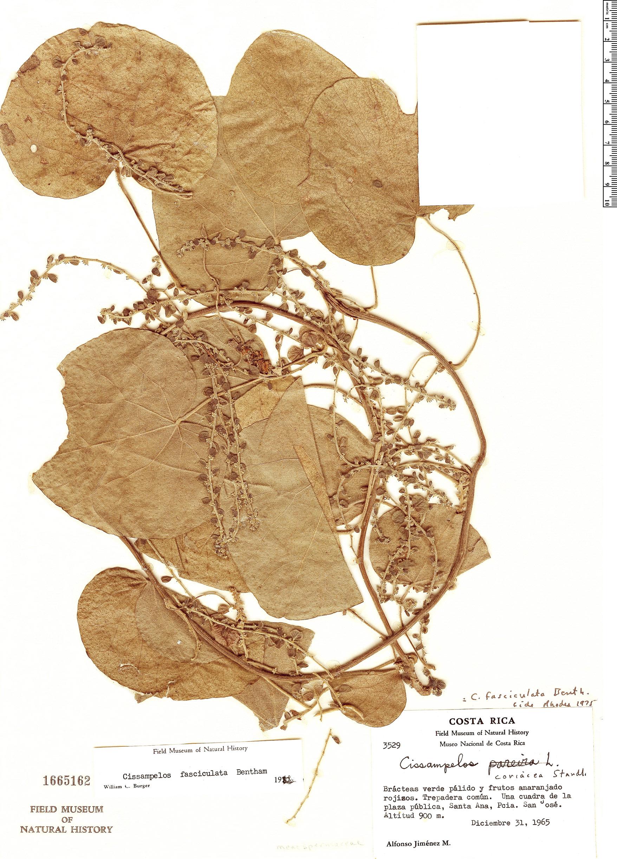 Specimen: Cissampelos fasciculata